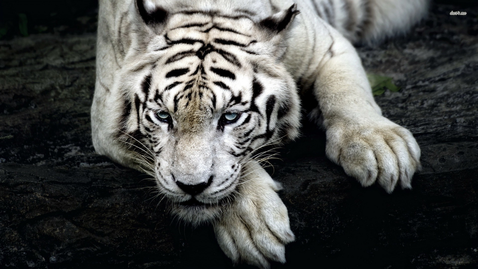 White-Tiger-Cool-Backgrounds-Wallpapers.jpg