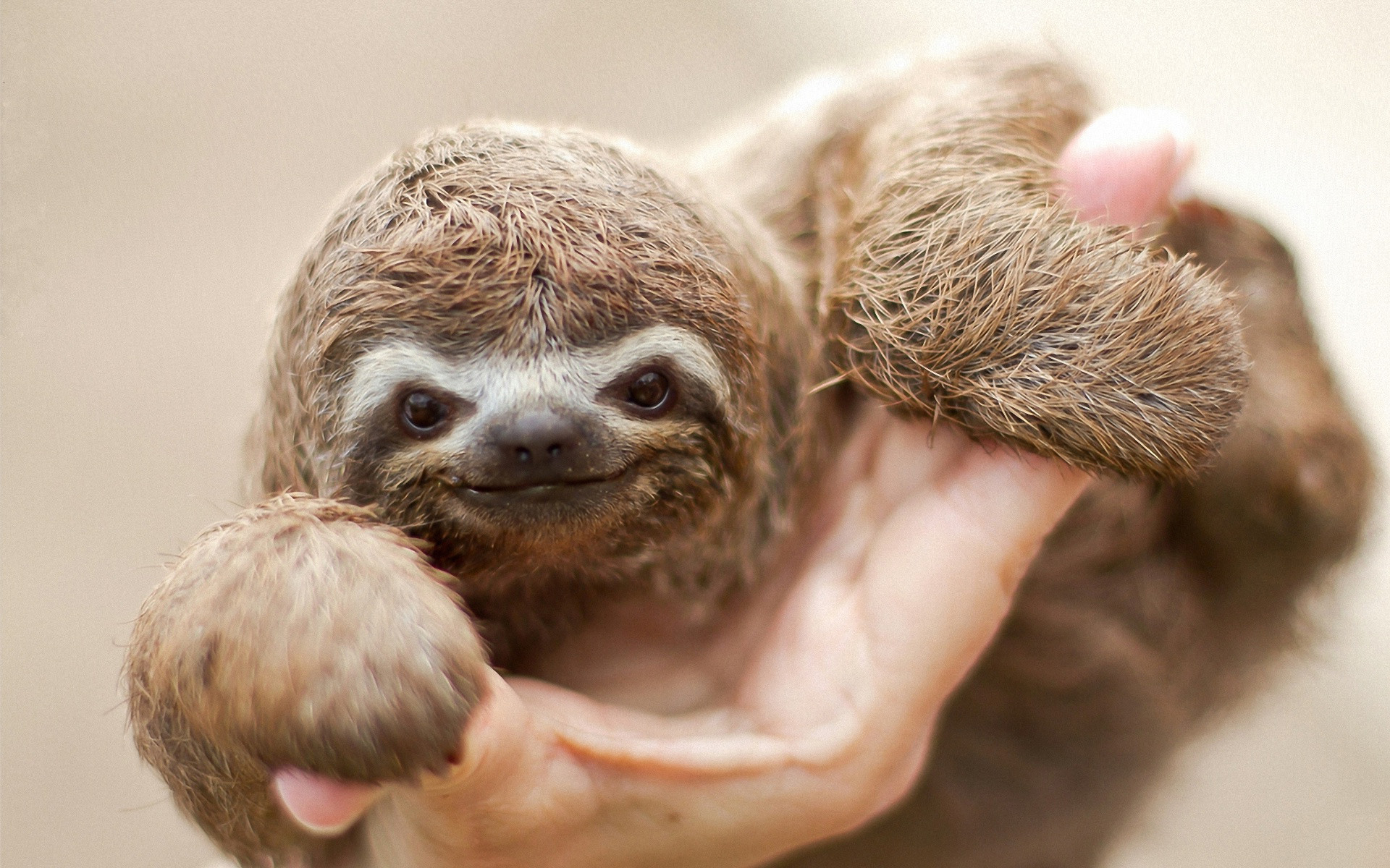 Sloth, animal, cute, gray, sloth