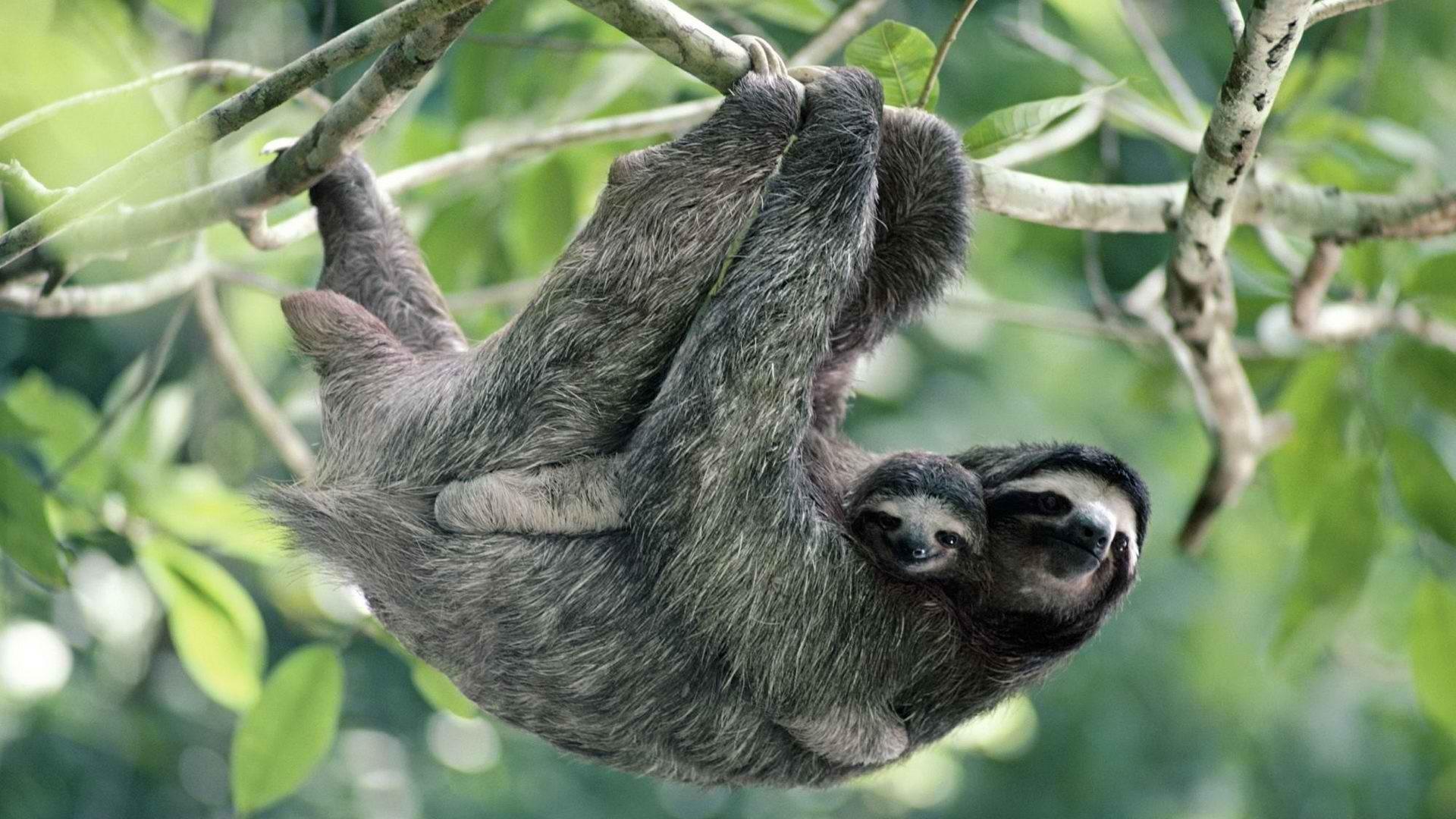 Brown Sloth Wallpaper Brown, Sloth, Panama