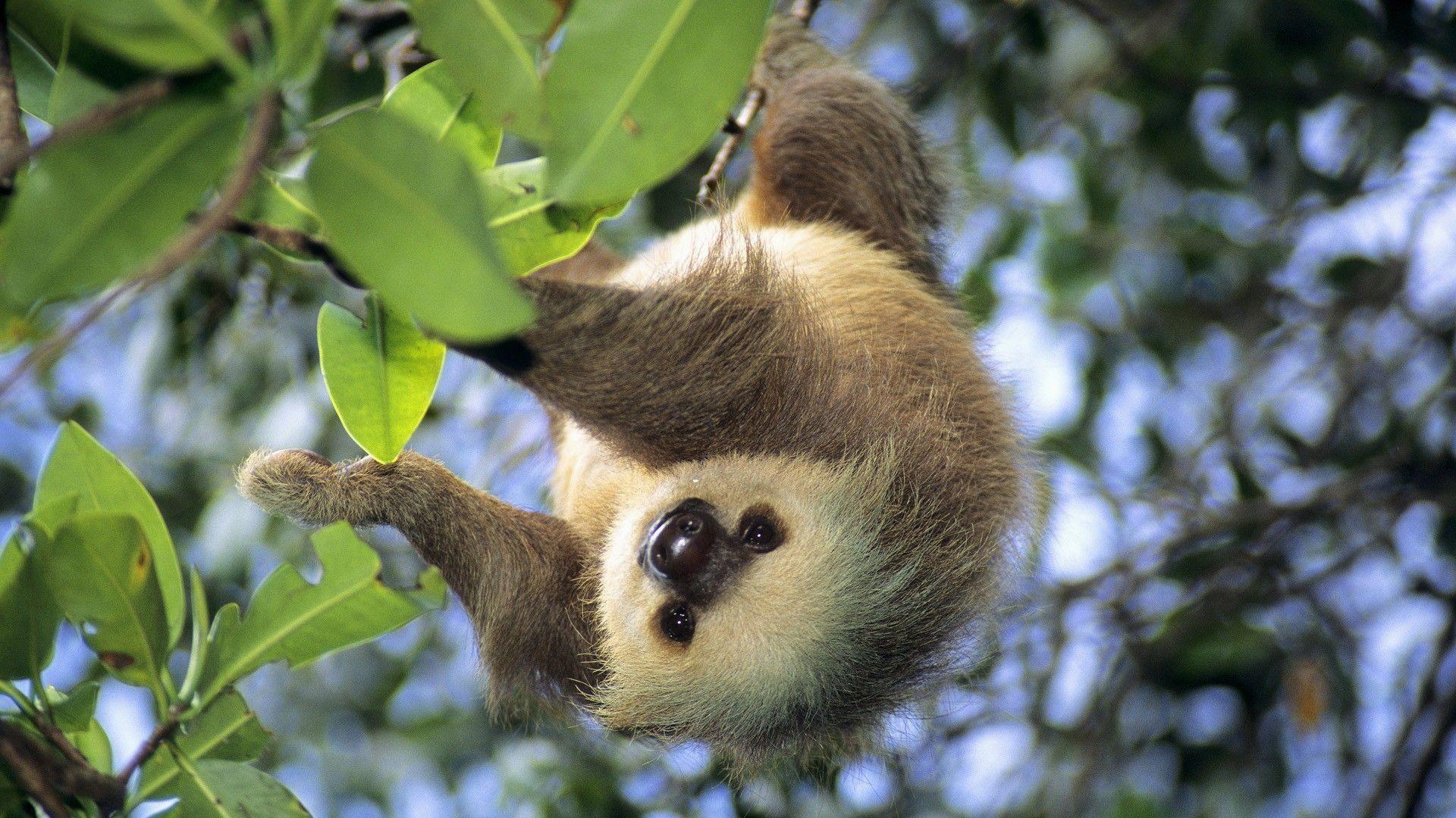 Sloth-HD-Background
