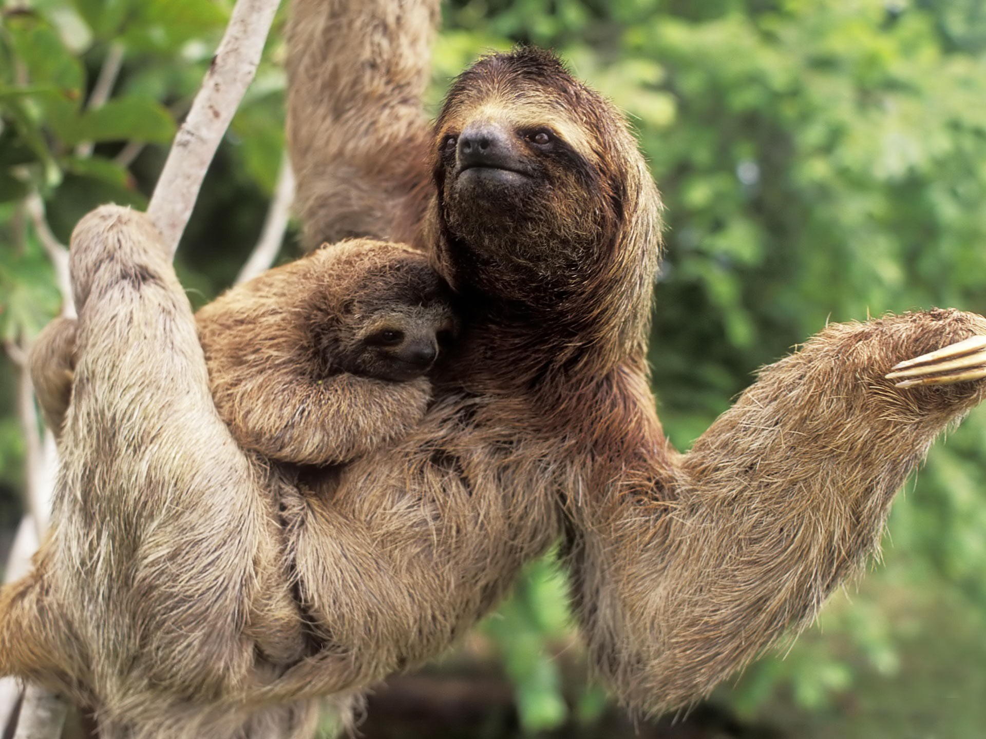 Sloth or Sloths are medium-sized mammals belonging to the families  Megalonychidae (two-
