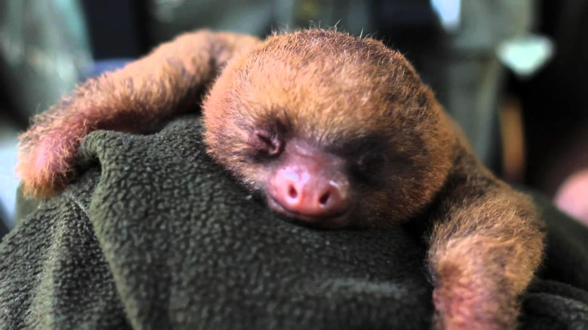 Baby Sloth Wallpaper – WallpaperSafari