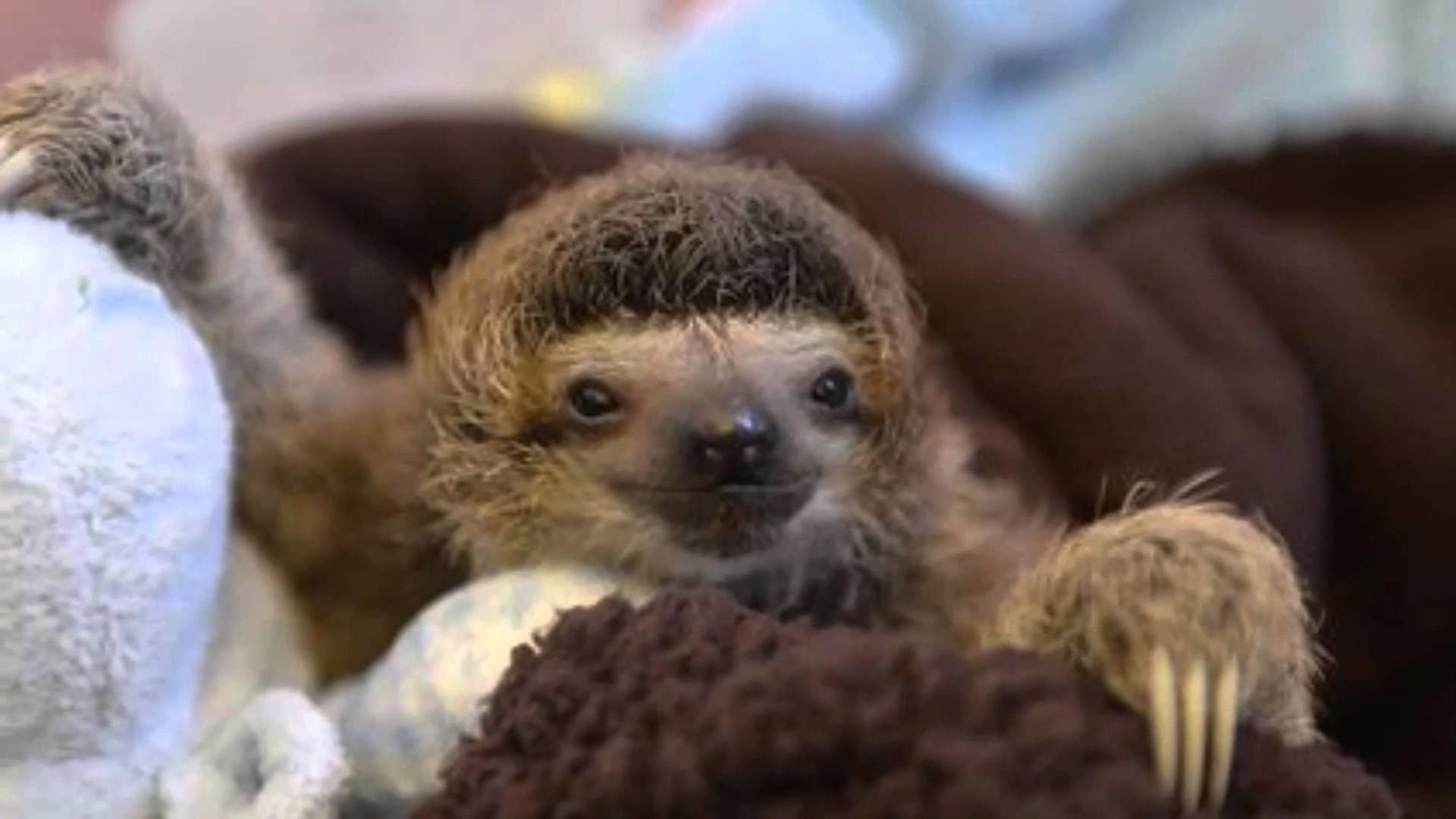 """""""Feels Like Home"""" Collection of Baby Sloth pictures"""