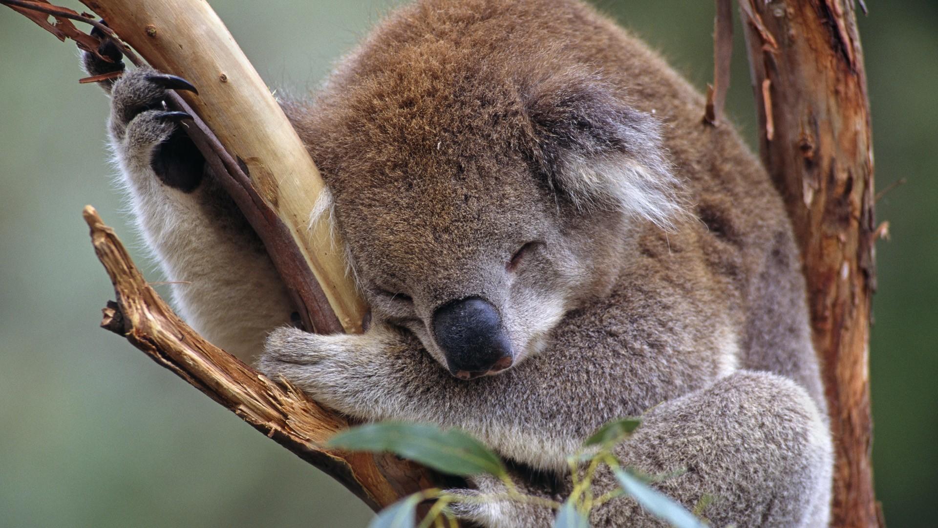 Koala Cute Overload!
