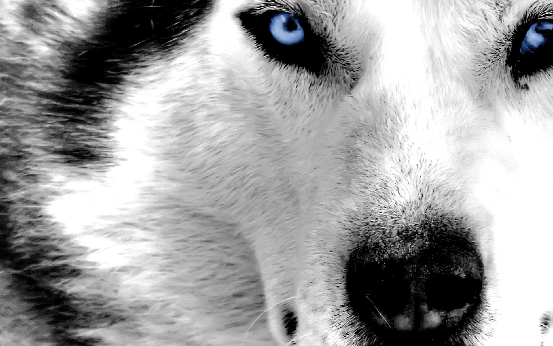 Really cool wolf pictures wallpaper