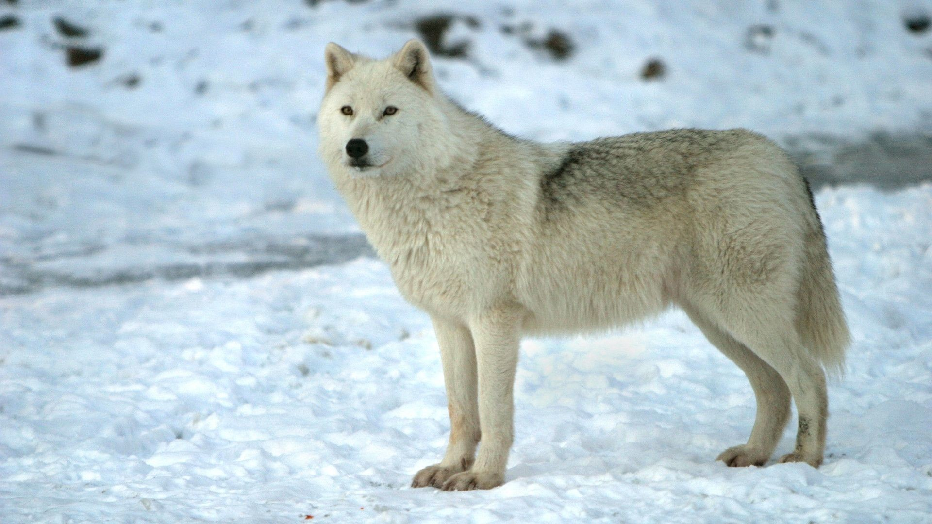 Collection of Cool Wolf Backgrounds on HDWallpapers 1920×1080 Wolves HD  Wallpapers (45 Wallpapers