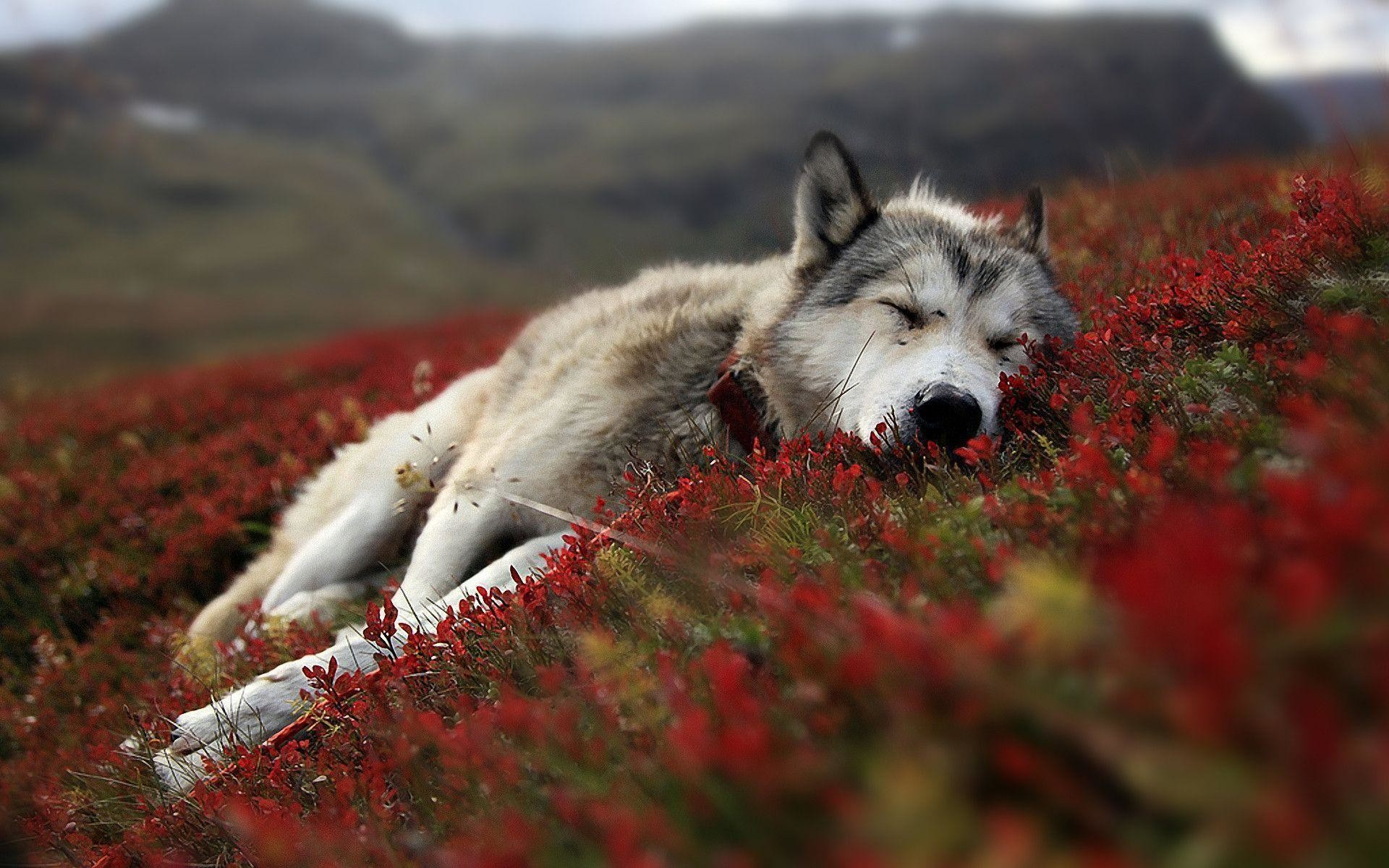 Images For > Lone Wolf Wallpaper