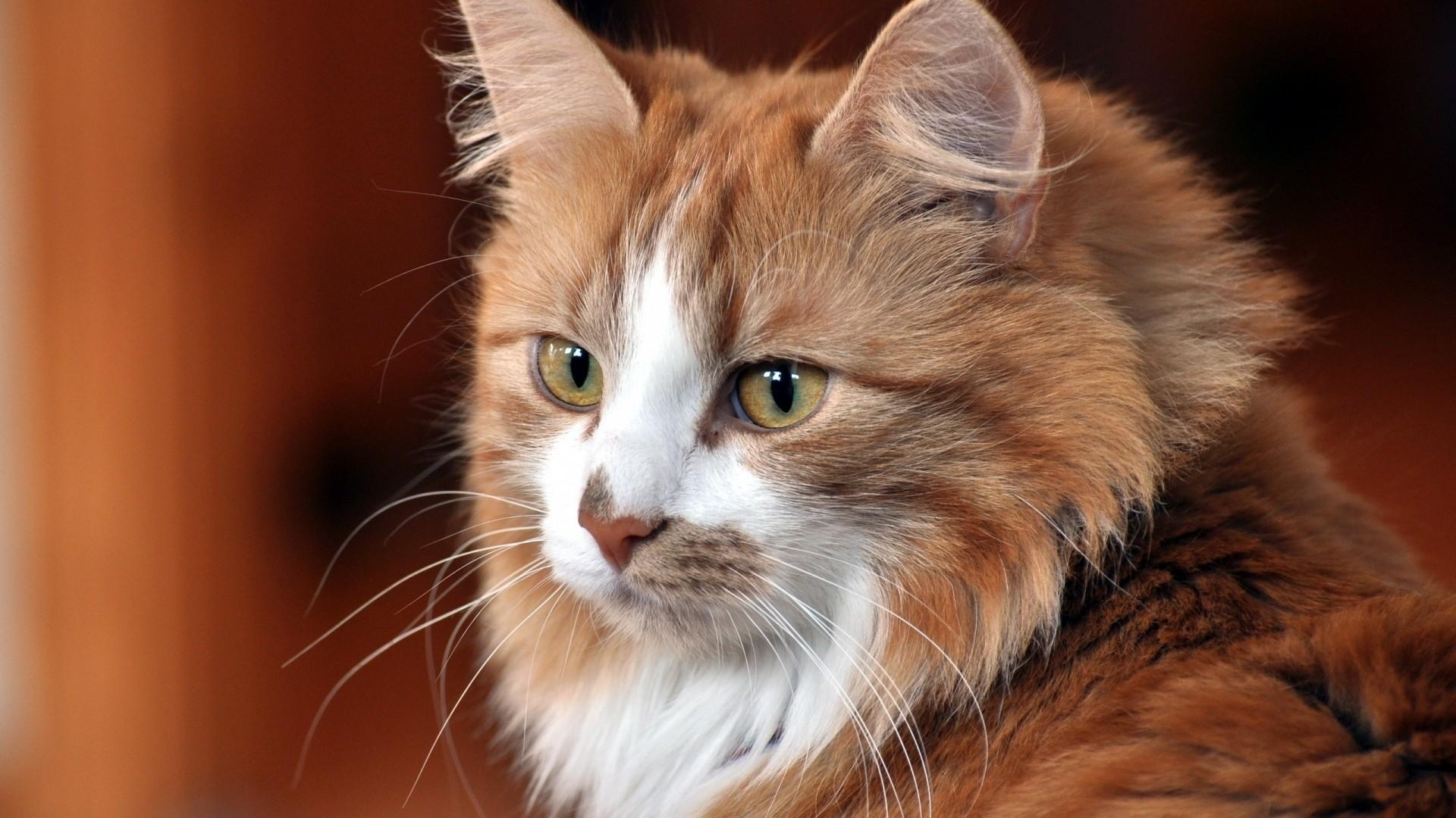 Wallpaper cat, face, cat, cool cat, cute cat