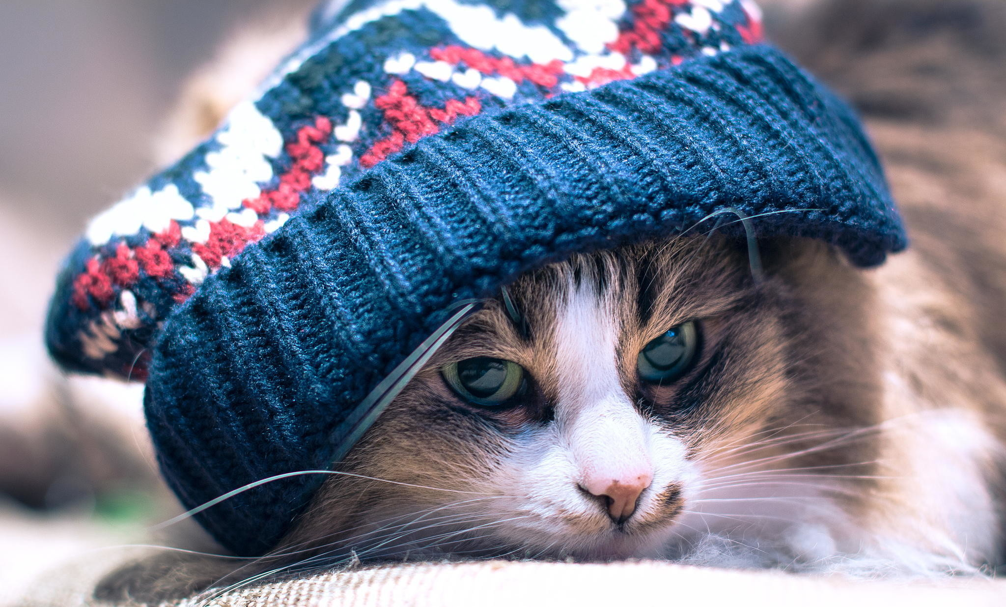 Cool Green Eyed Calico Color Cat Wearing Blue Wool Hat HD wallpaper for free