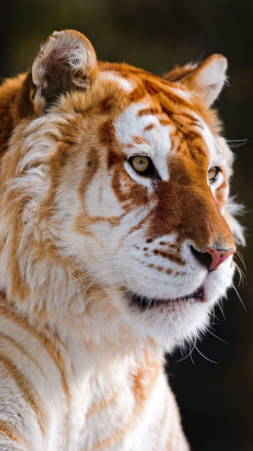 Animals Golden Tiger Orange Cool Cat Awesome