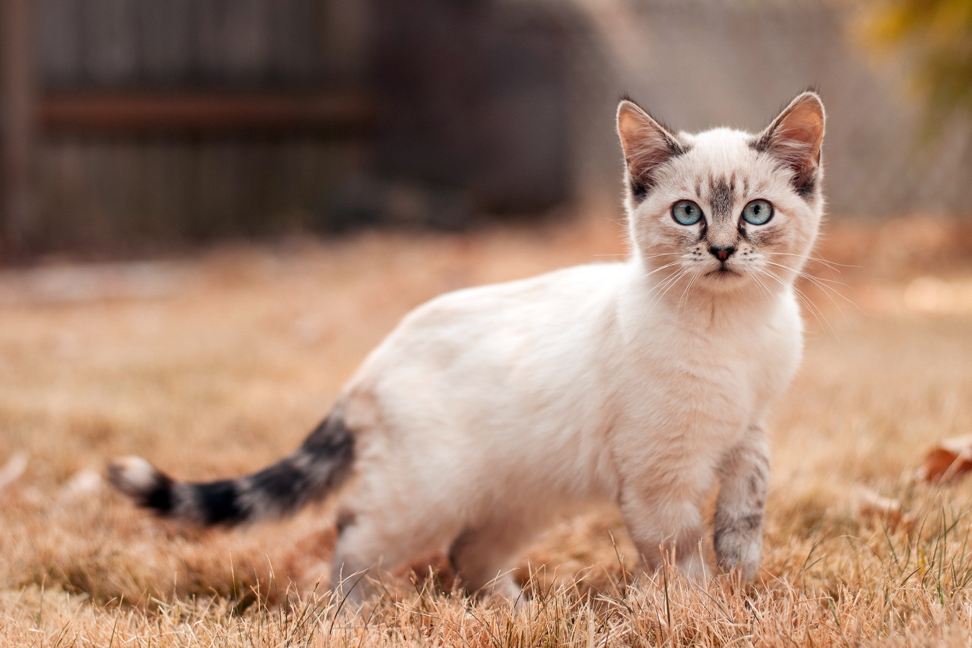Amrican Cat HD Wallpapers Cat Desktop Wallpapers and Images Cool