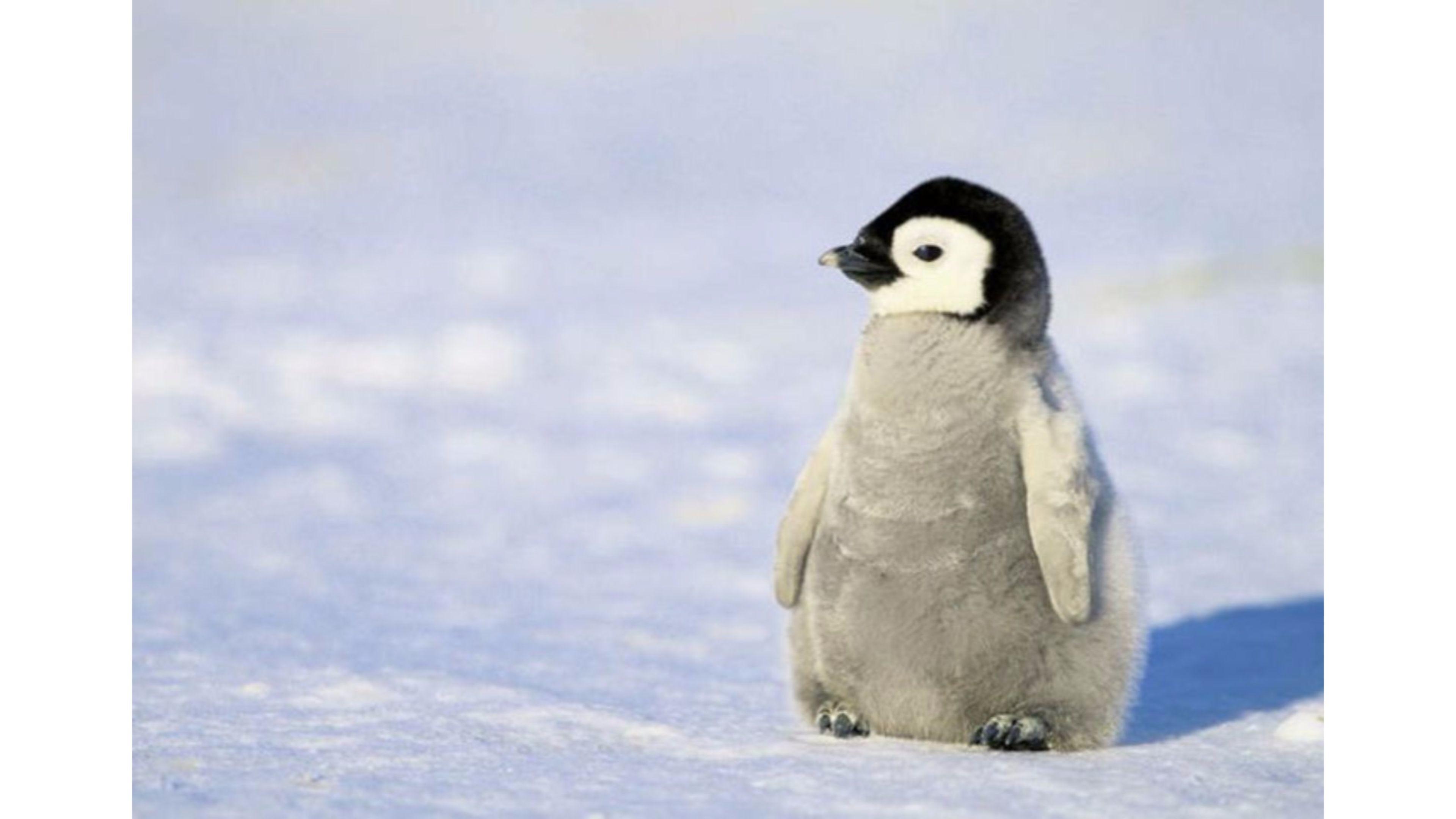 Baby Penguin 4K Wallpaper Free 4K Wallpaper – Free penguin wallpaper