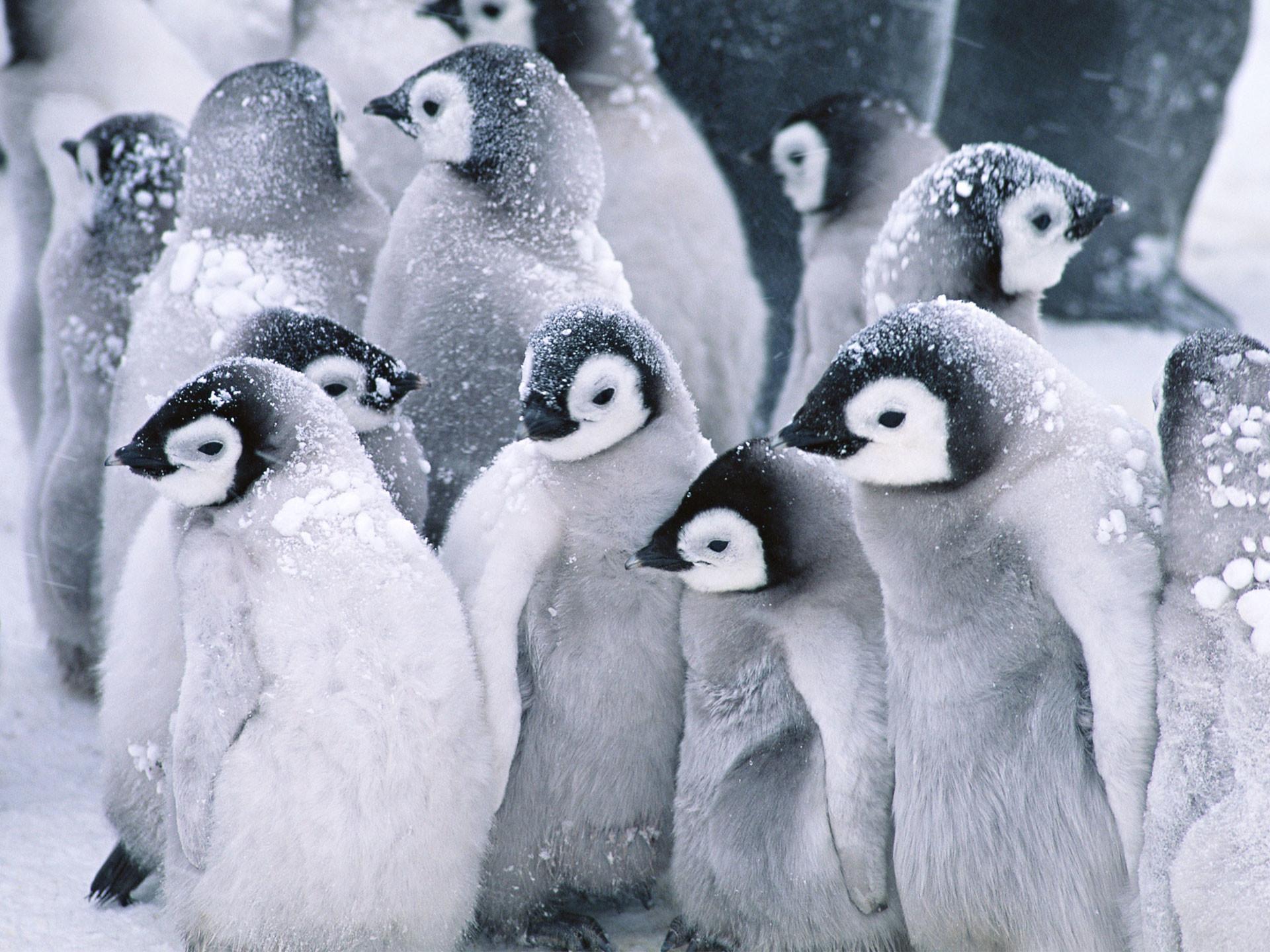 Cute Arctic Penguins Wallpapers   HD Wallpapers
