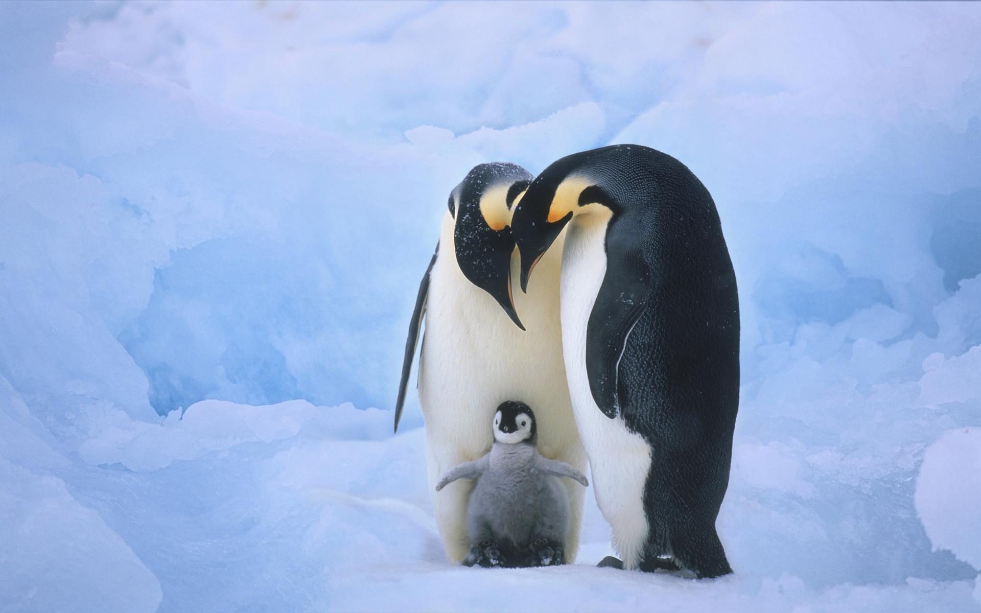 Cute Penguin wallpaper mobile