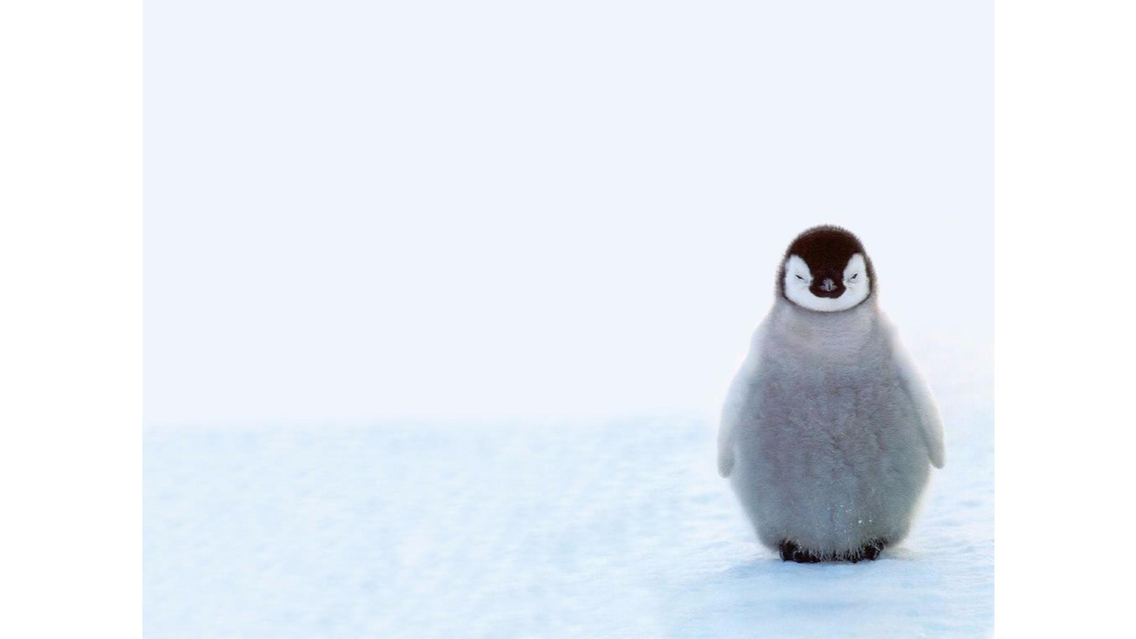 Top Penguin 4K Wallpaper
