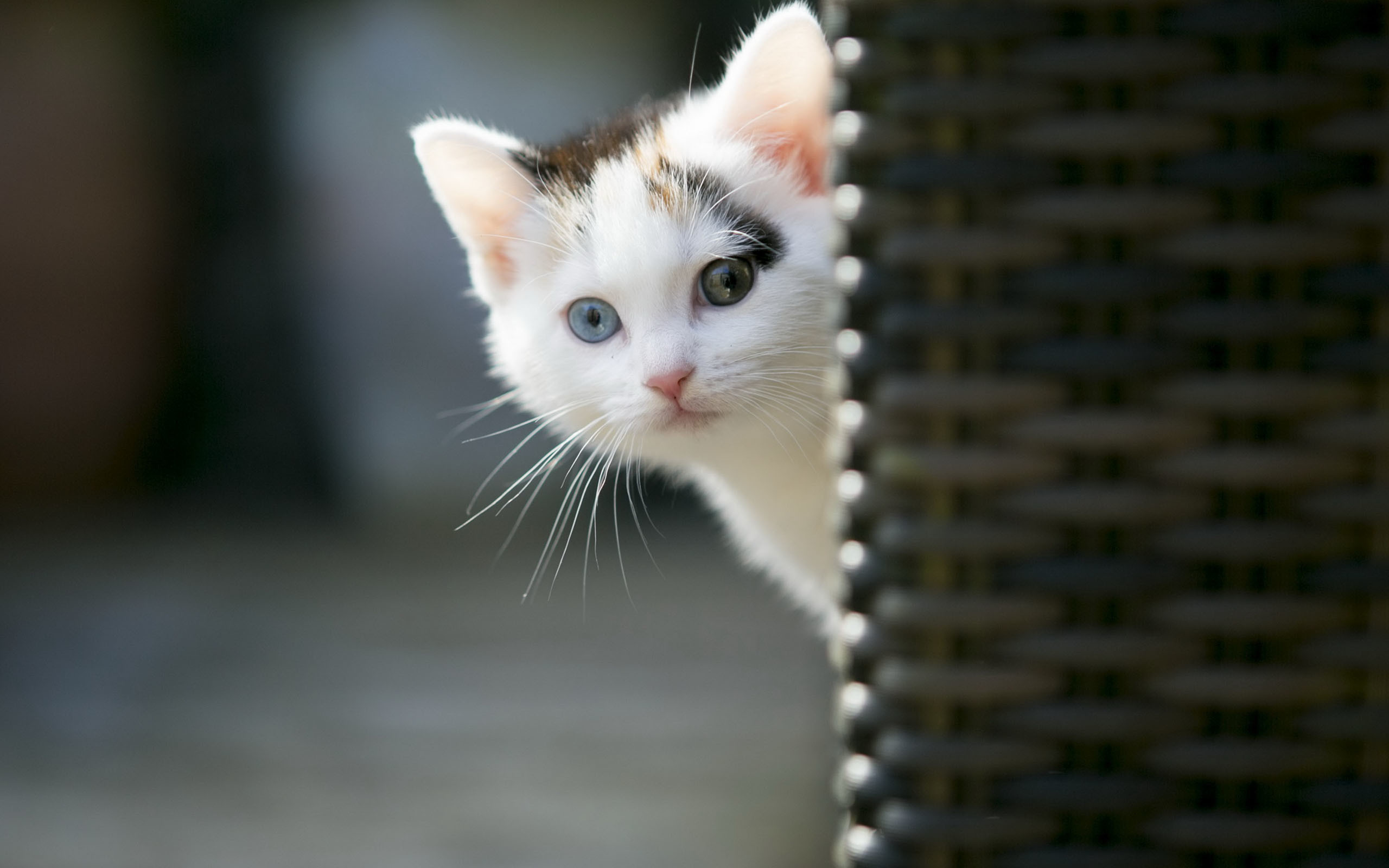 Animals Wallpaper: Cute Cat Wallpapers Images for HD Wallpaper .