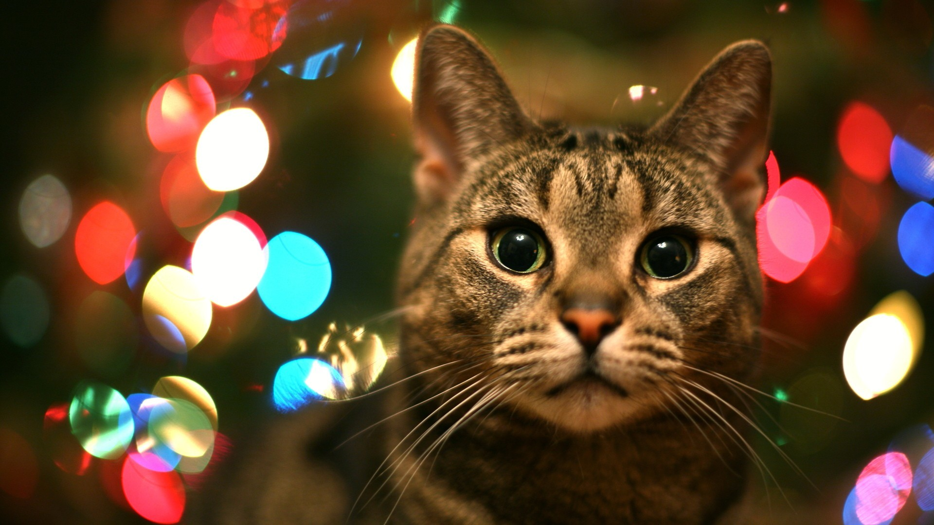 Tabby Cat In Christmas Lights   High Quality Wallpapers,Wallpaper .