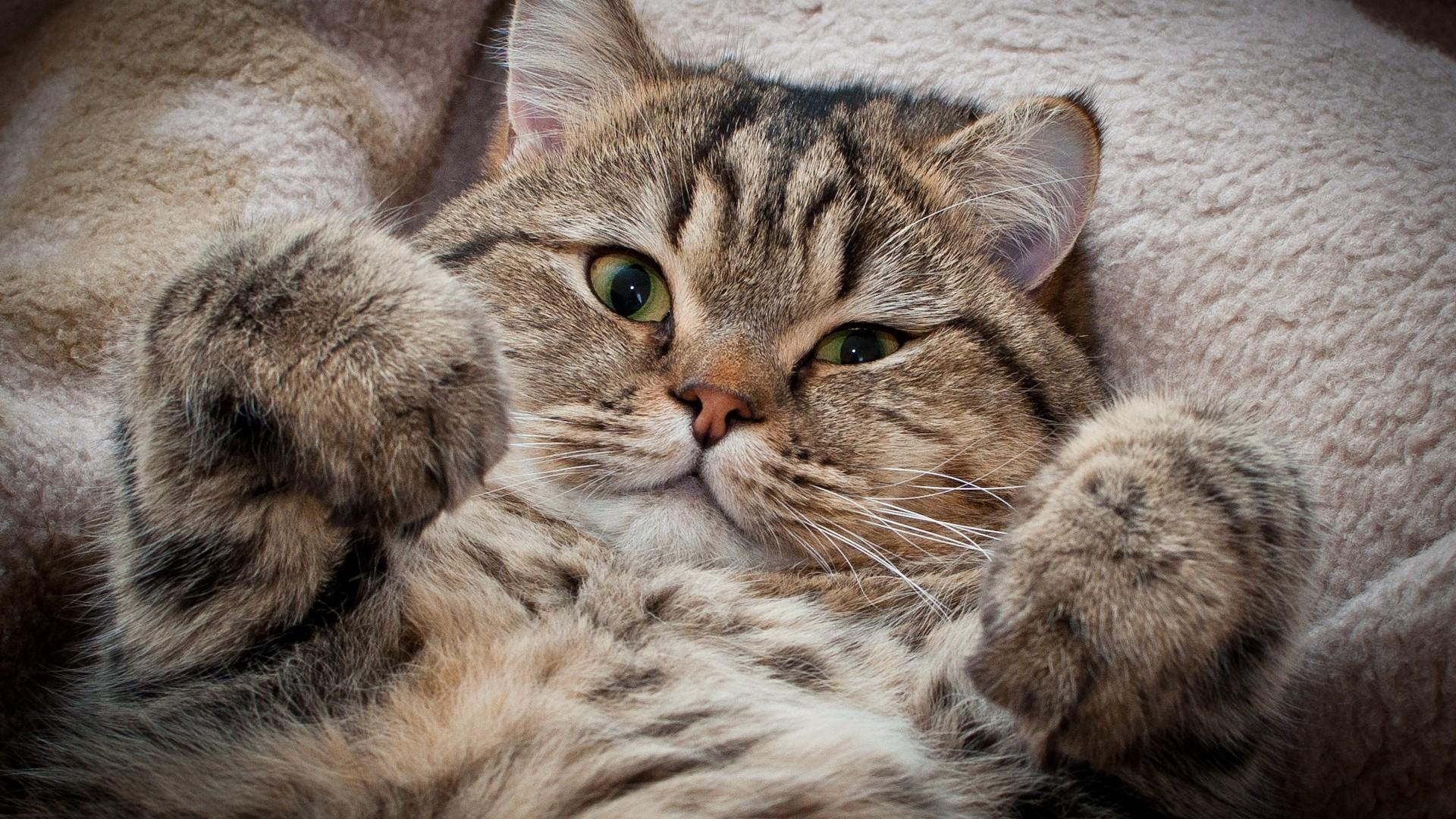 Cat Wallpaper Free Downloads #10508 Wallpaper   Cool Walldiskpaper.com