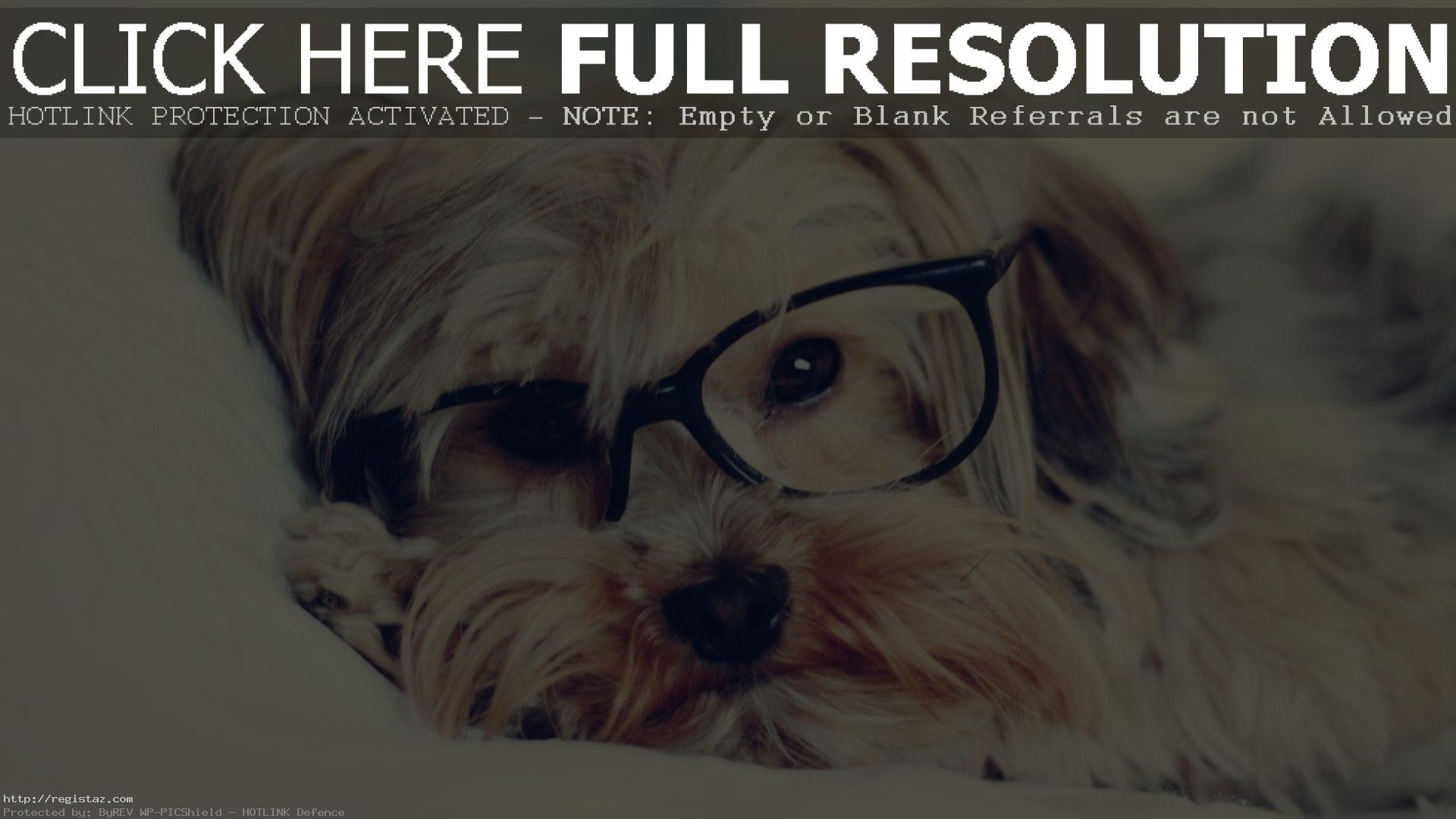 yorkshire terrier puppies sleep with glasses wallpaper
