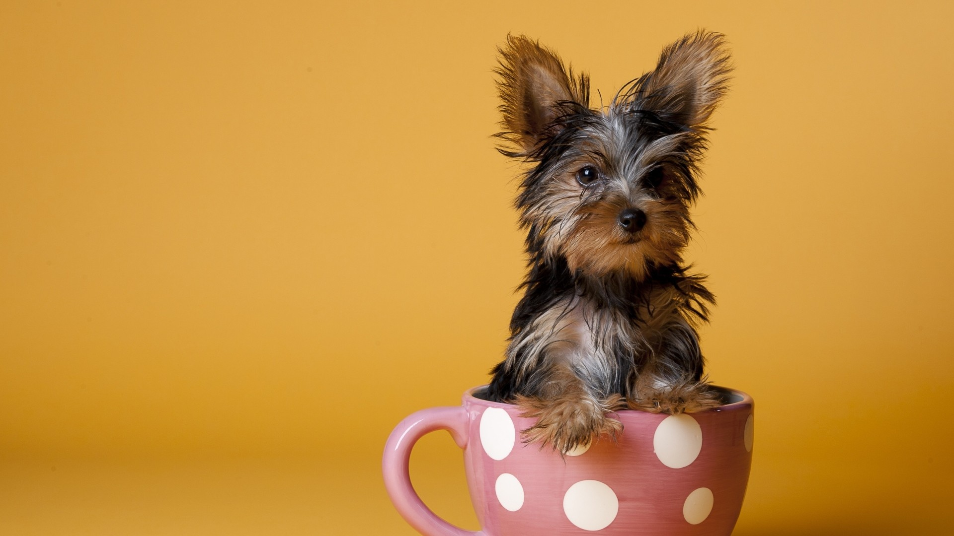 Preview wallpaper yorkshire terrier, cup, puppy, dog, sit 1920×1080