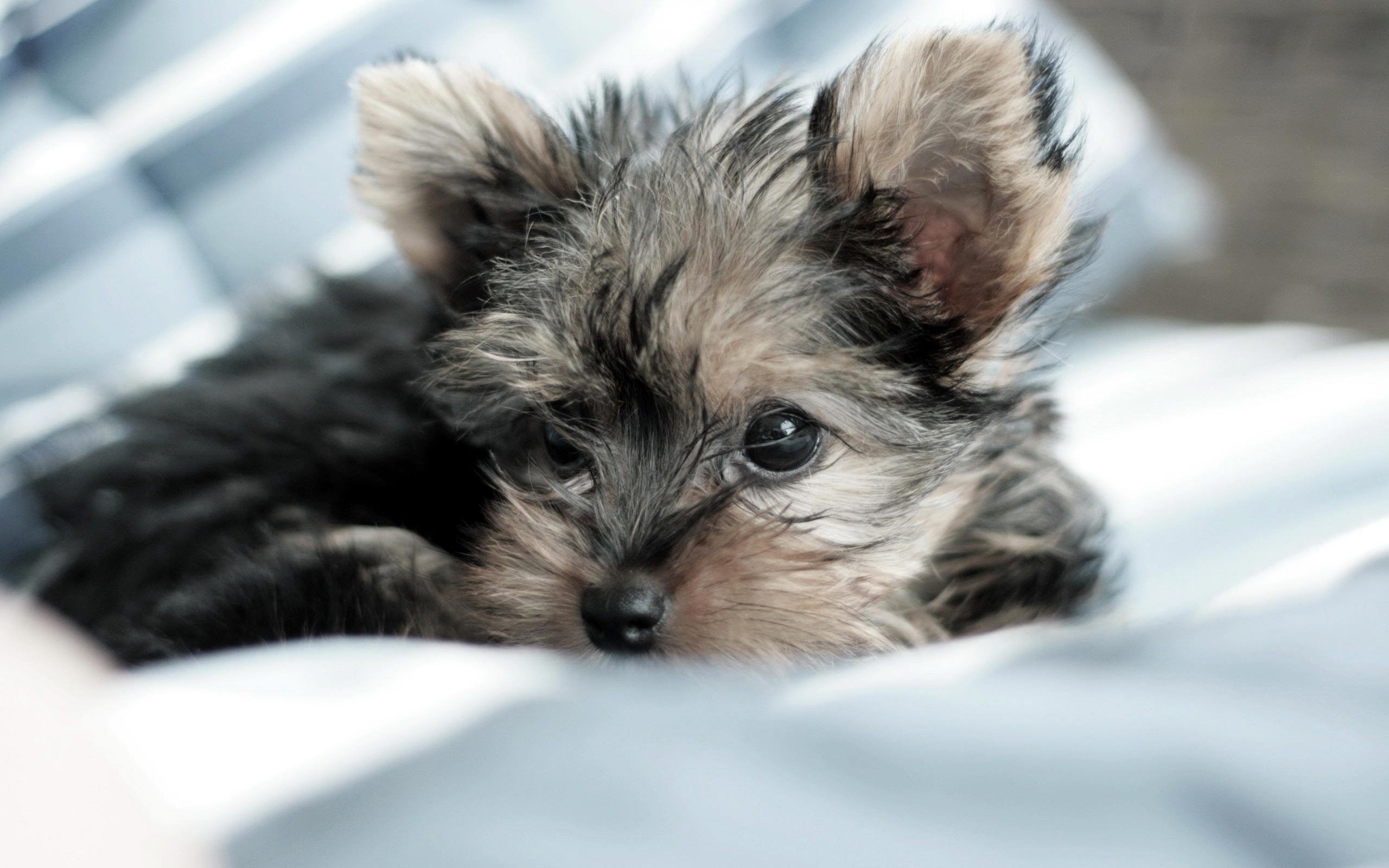 dog yorkshire terrier hd wallpaper 0005