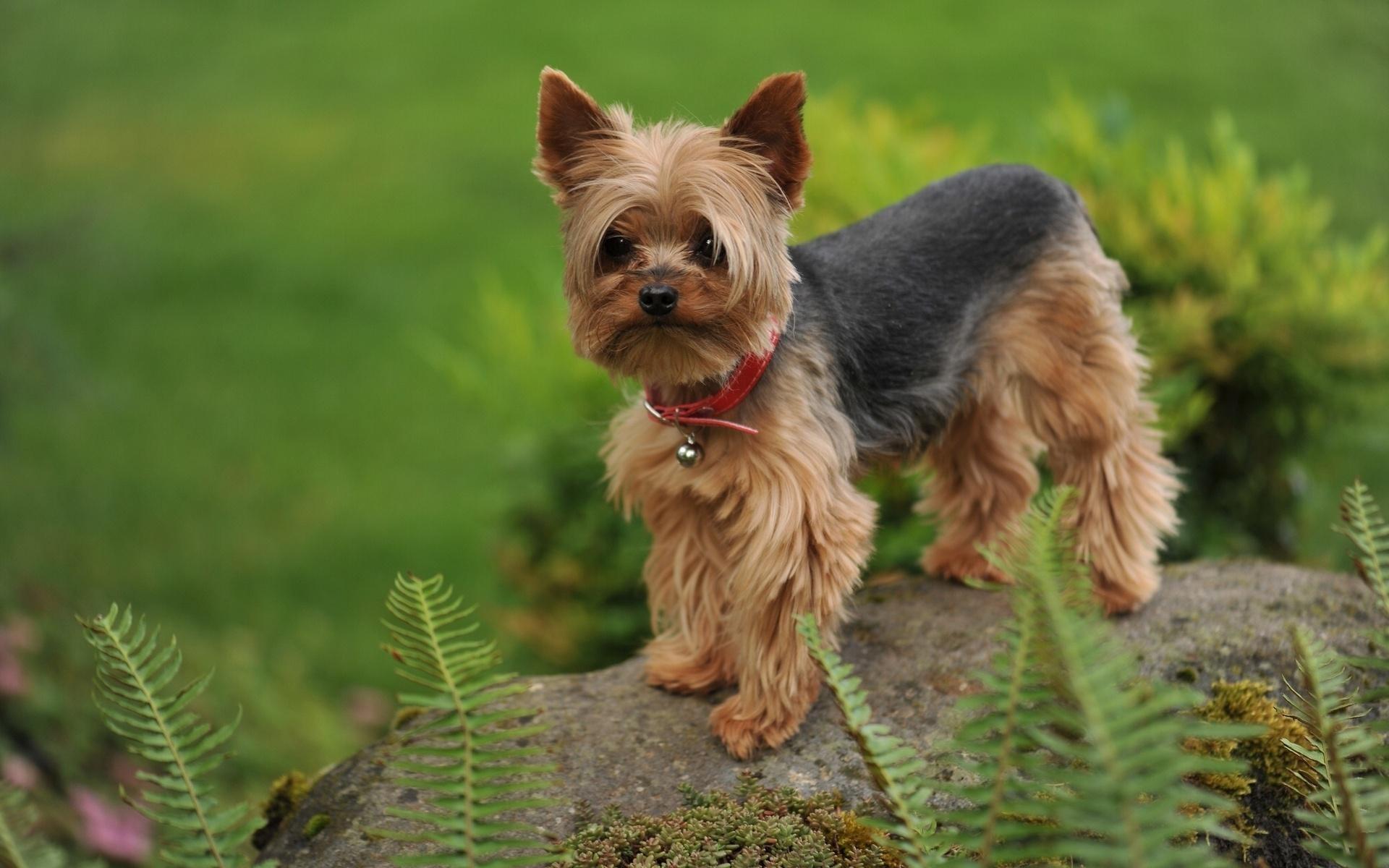 Yorkshire Terrier Cat Standing On Rock