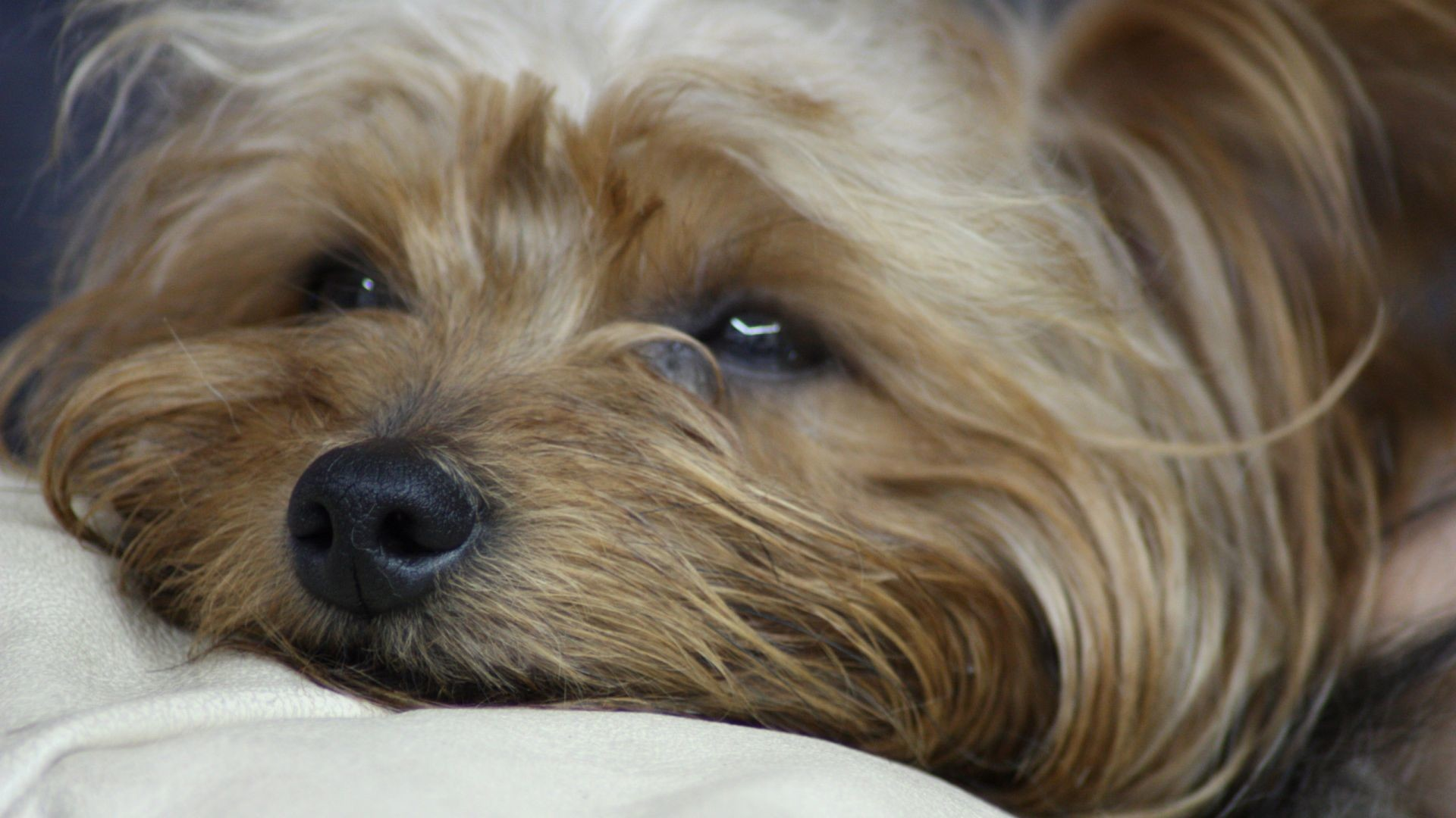 Yorkshire Terrier images
