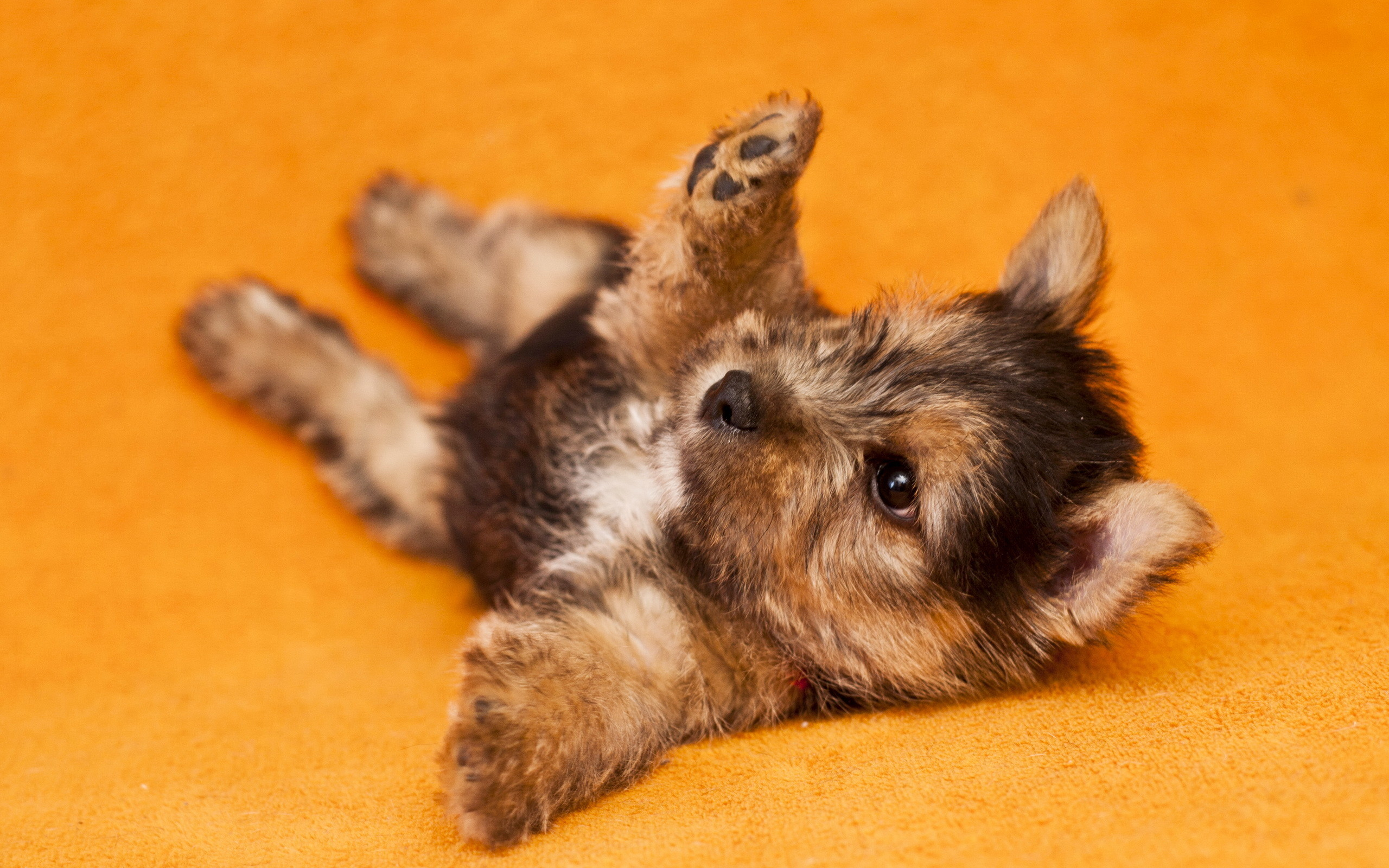 Yorkshire Terrier Wallpapers