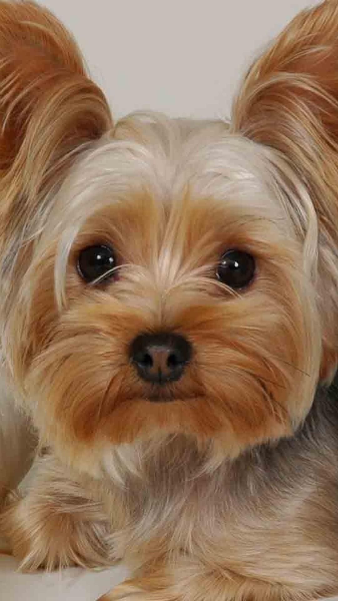 Wallpaper yorkshire terrier, lying, fabric, face, beautiful, dog