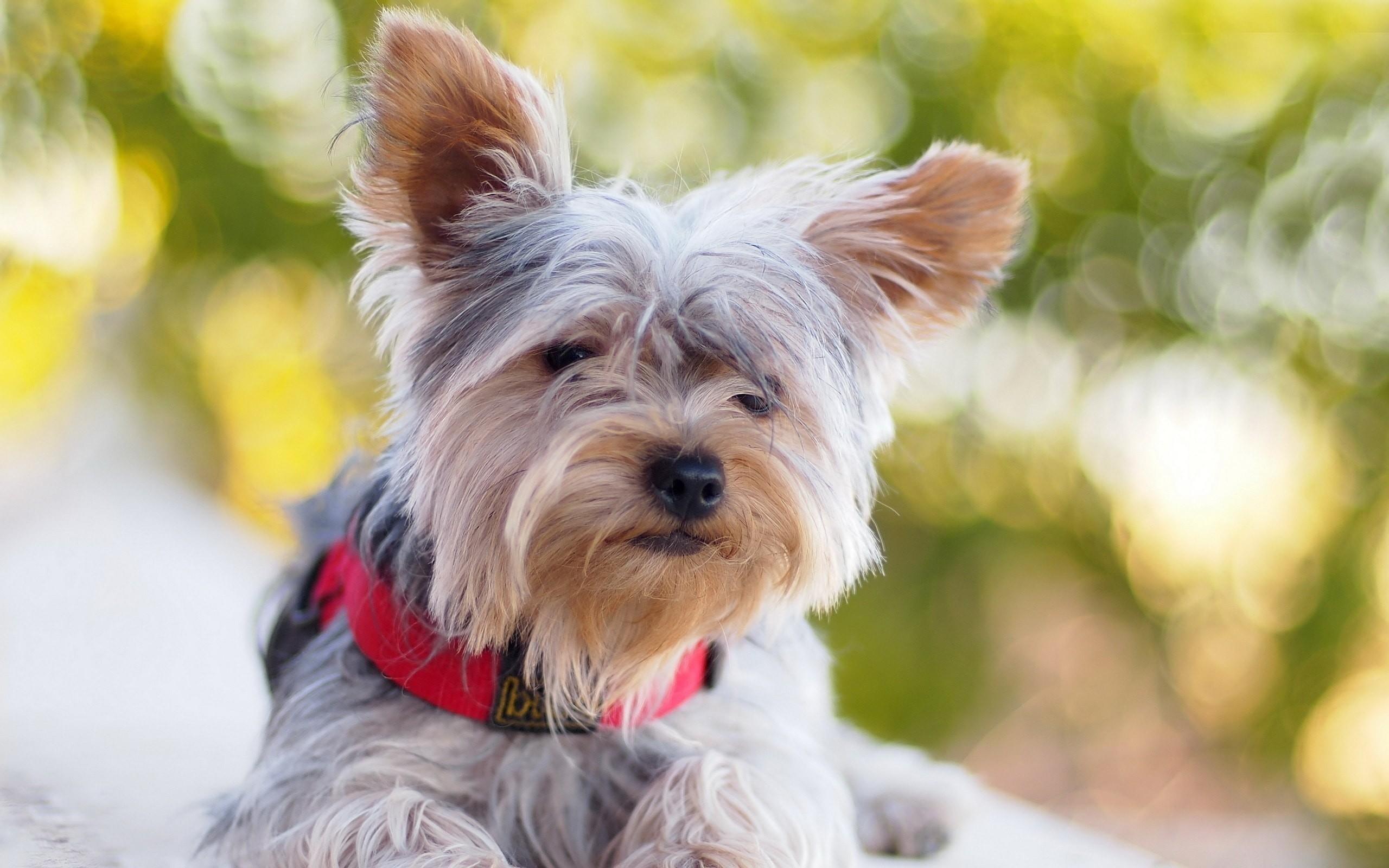 Australian Silky Terrier HD pics Australian Silky Terrier Wallpapers hd