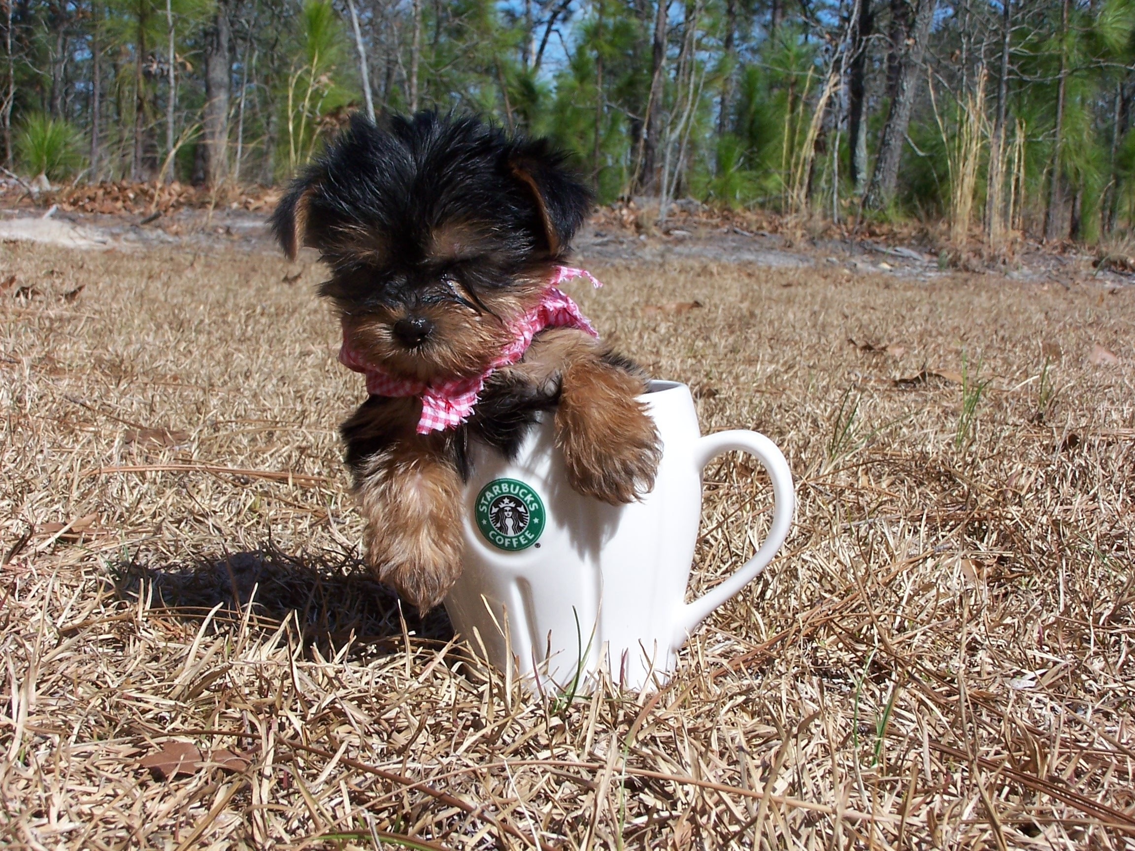 Yorkies images little baby HD wallpaper and background photos