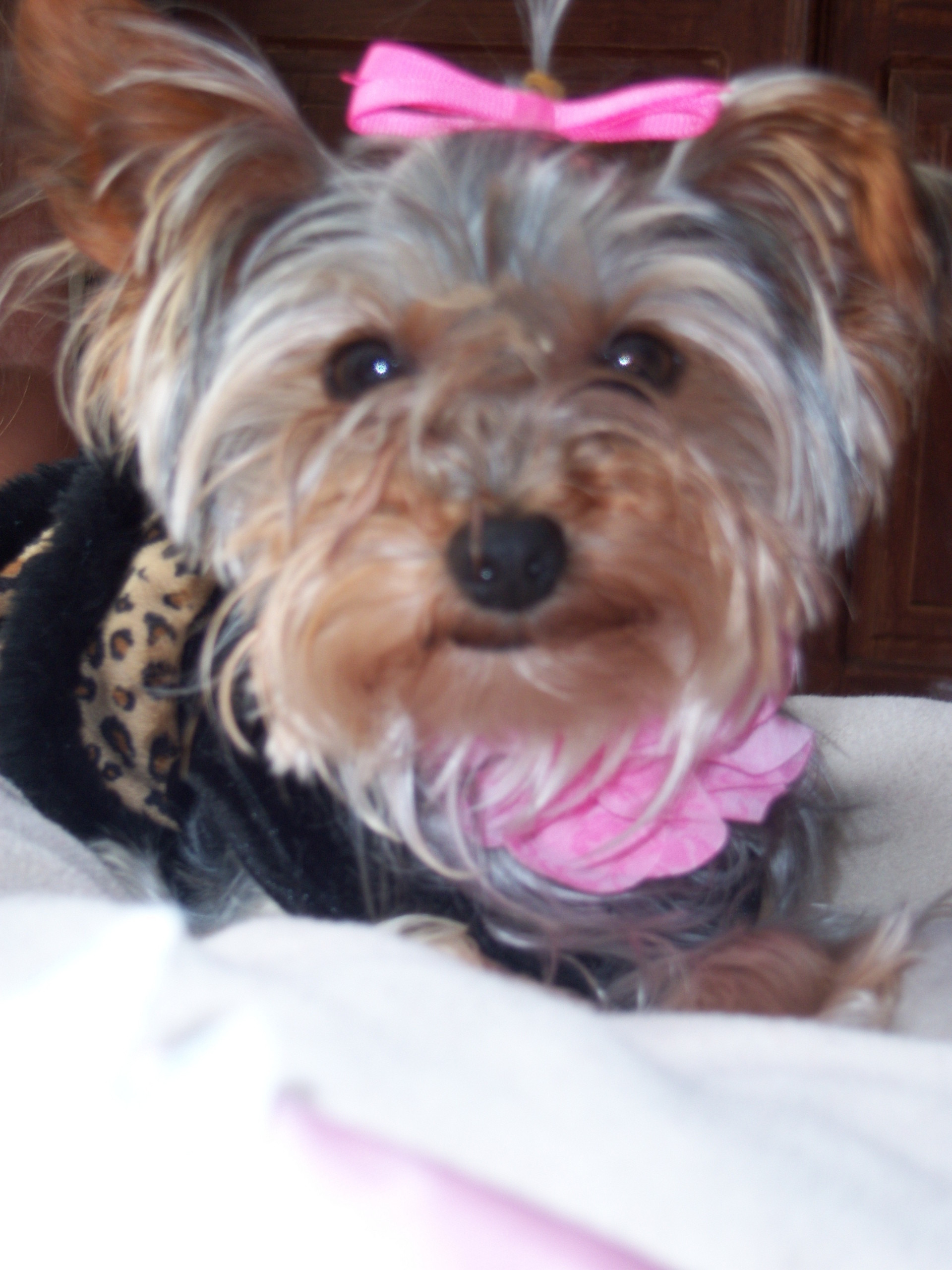 Yorkies images Lizzy Sue. My yorkie! HD wallpaper and background photos