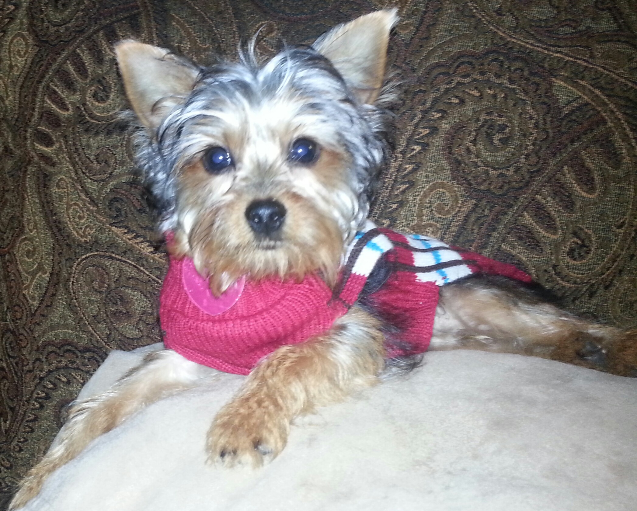 Yorkshire Terriers images yorkie terrier….i am koi HD wallpaper and  background photos