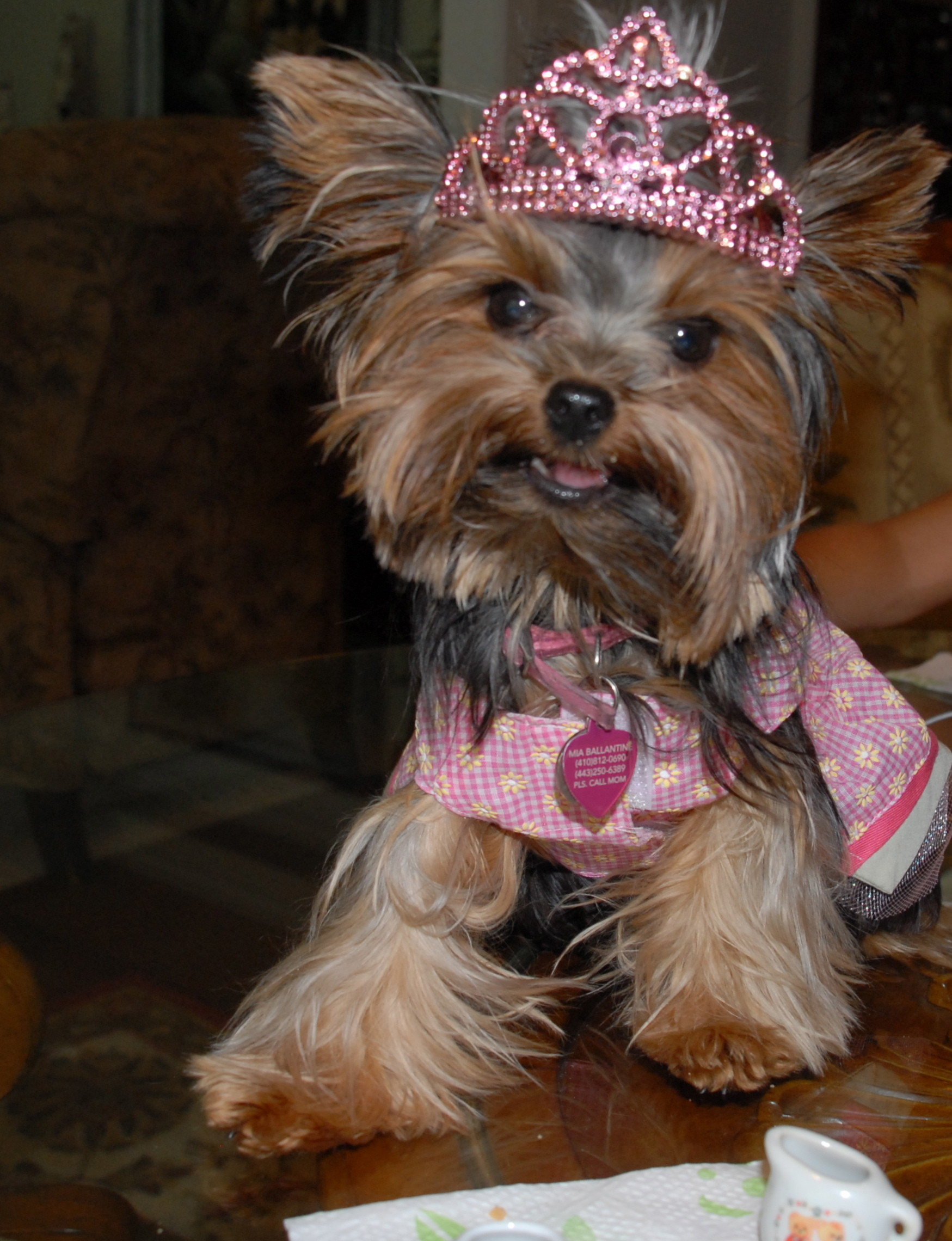 Cute Yorkshire Terrier Picture Gallery