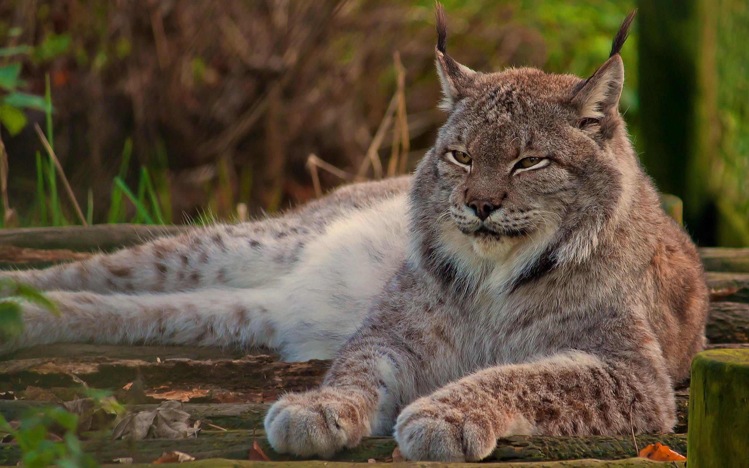 Gorgeous Lynx Wallpaper