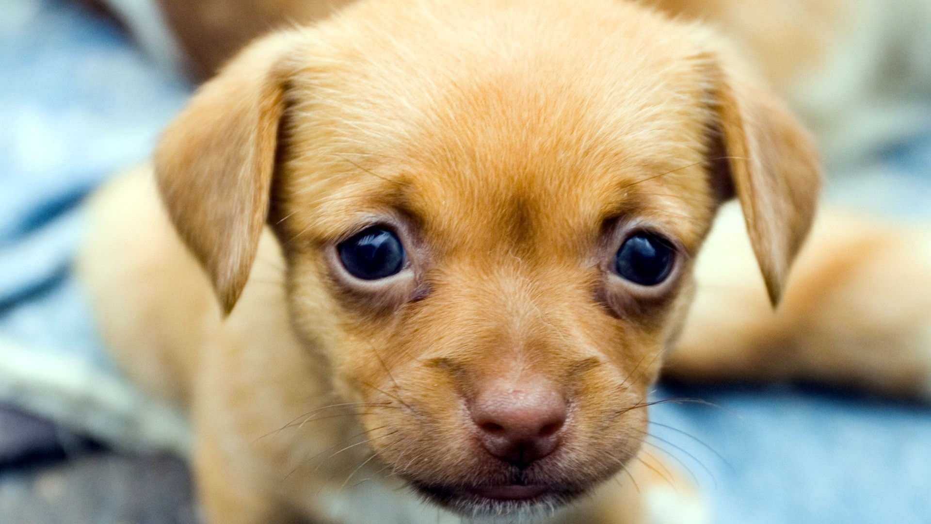 Download Wallpaper puppy, baby, look Full HD 1080p HD Background