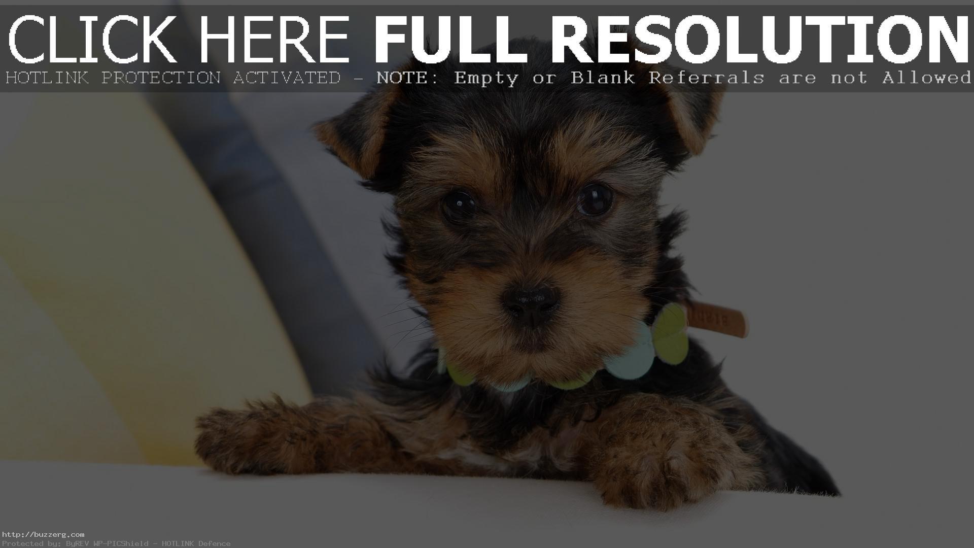 Yorkie Puppie (id: 124707)