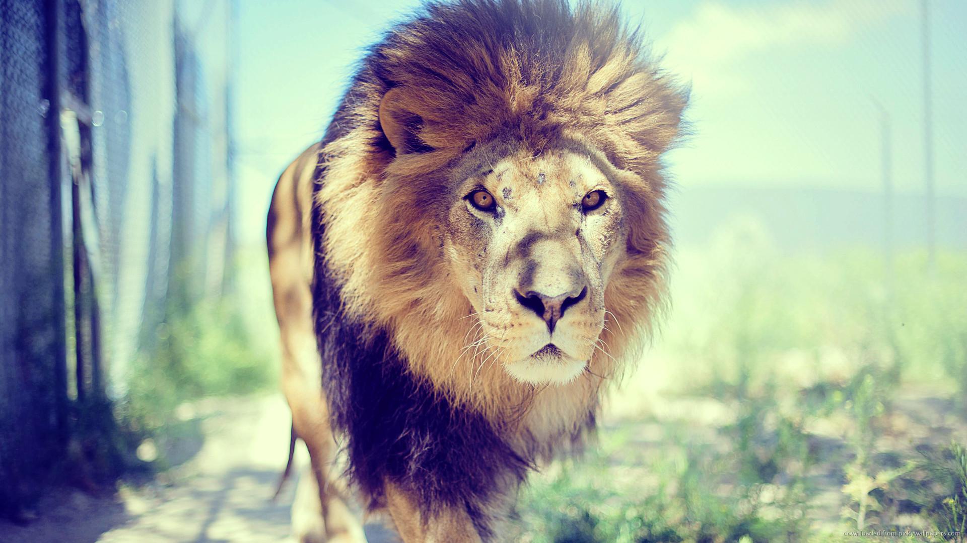 tumblr lion wallpaper 2560×1440 – Buscar con Google