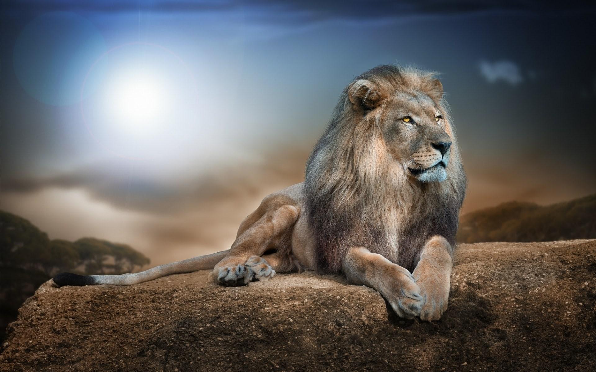 Lion HD pics Lion wallpapers hd