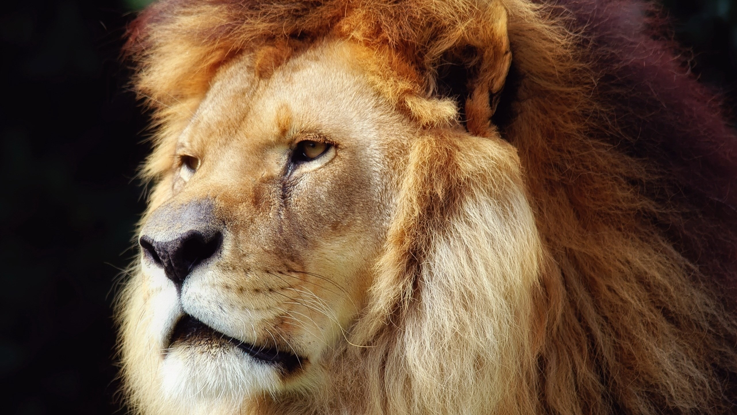 cool-lion-hd_-wallpaper-wp4003328