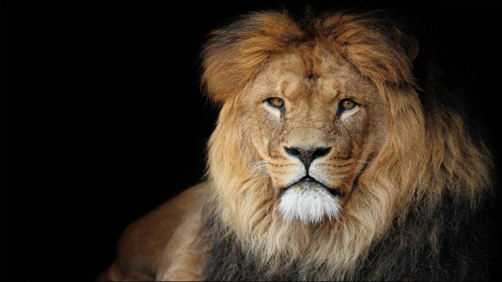 beautiful-african-lion-wallpaper-hd-free-downloaded