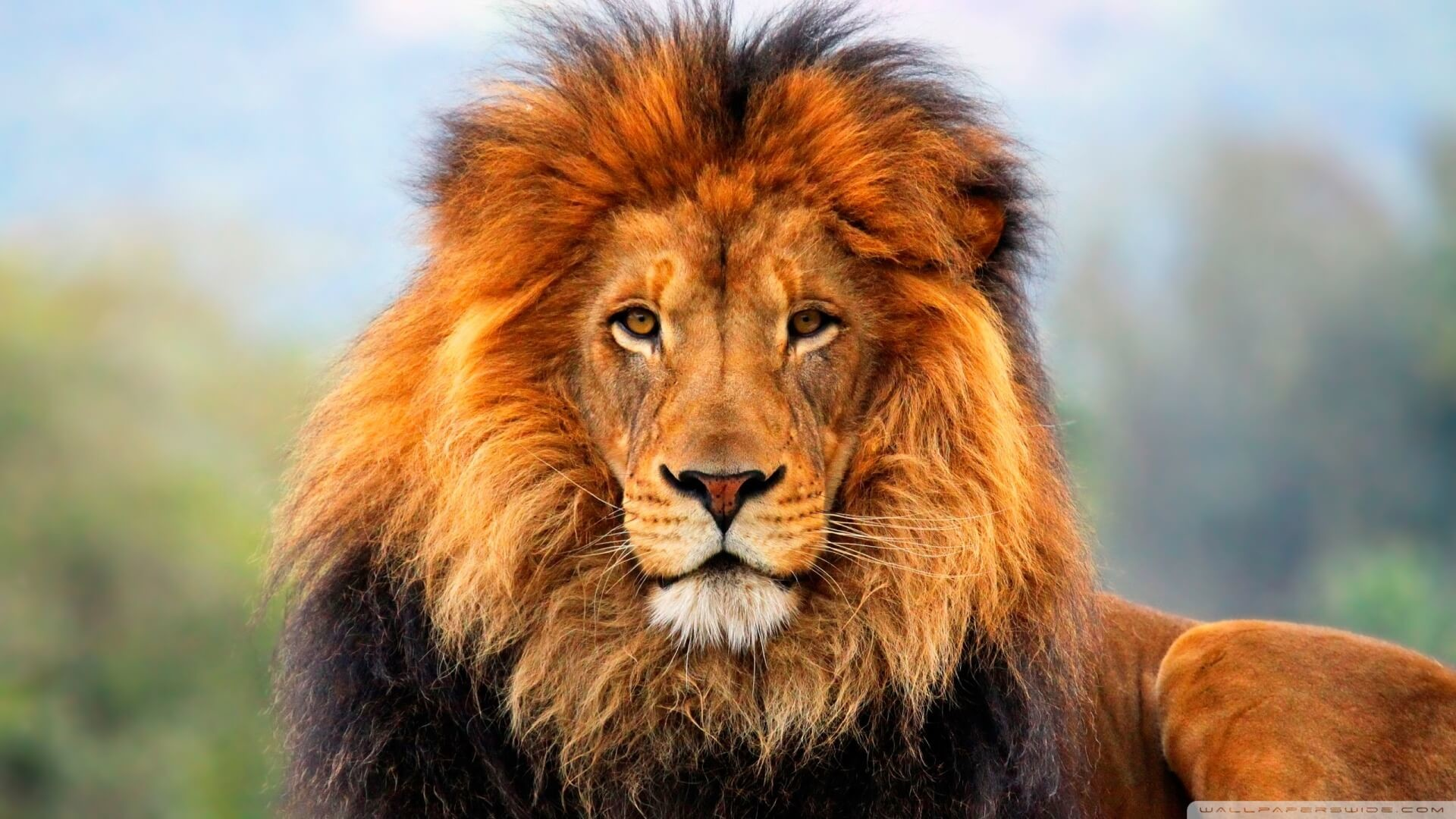 Lion Wallpapers for iPad