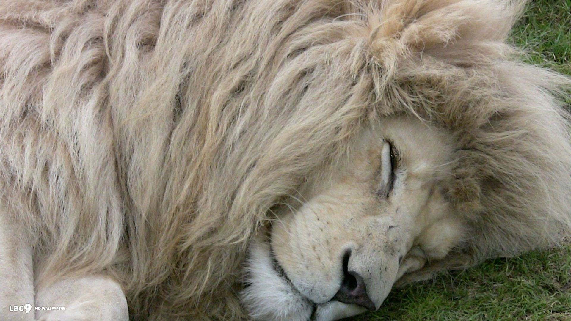 White Lion Wallpapers – HD Wallpapers Inn