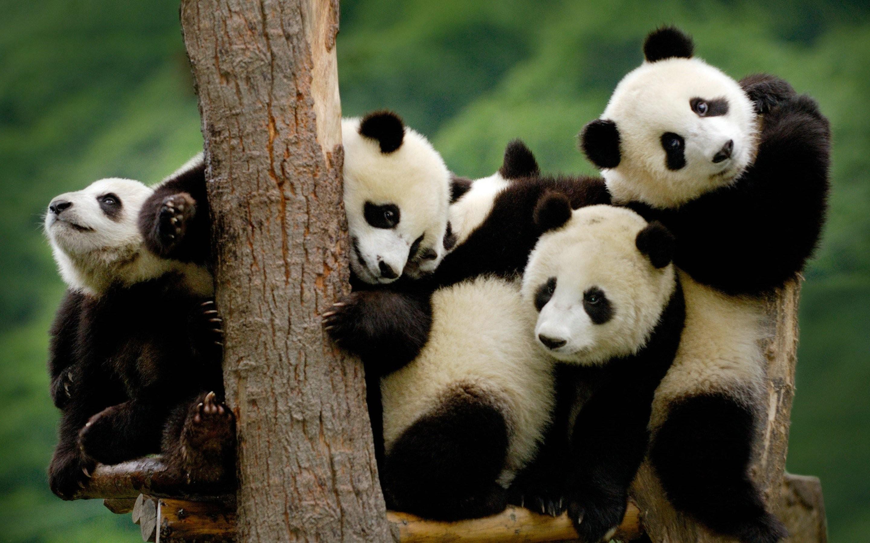 Panda pandas baer bears baby cute (3) wallpaper     364431 .