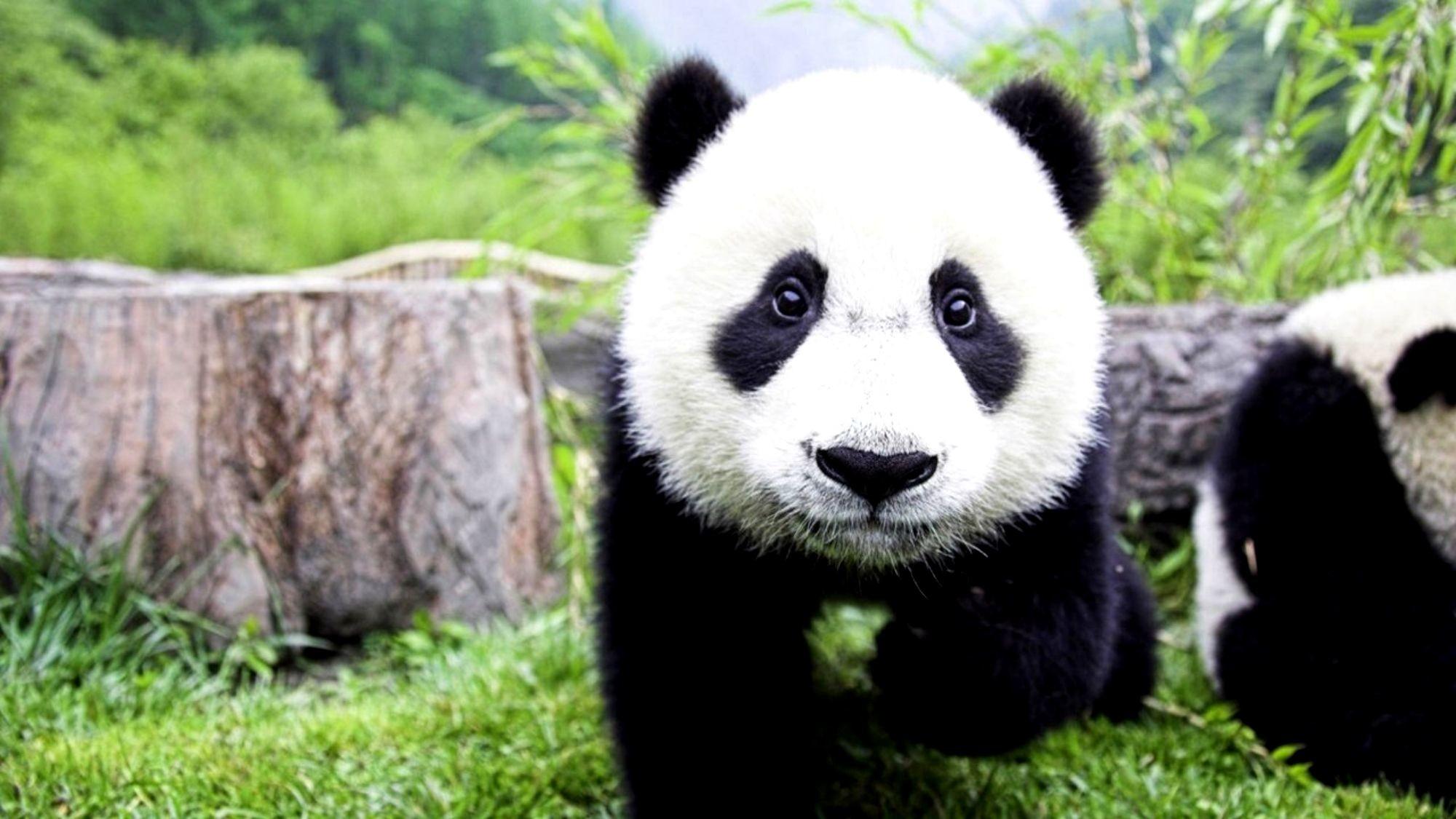 Animal Baby Animal Bear Cute Panda Sleeping Tree · HD Wallpaper    Background ID:390654