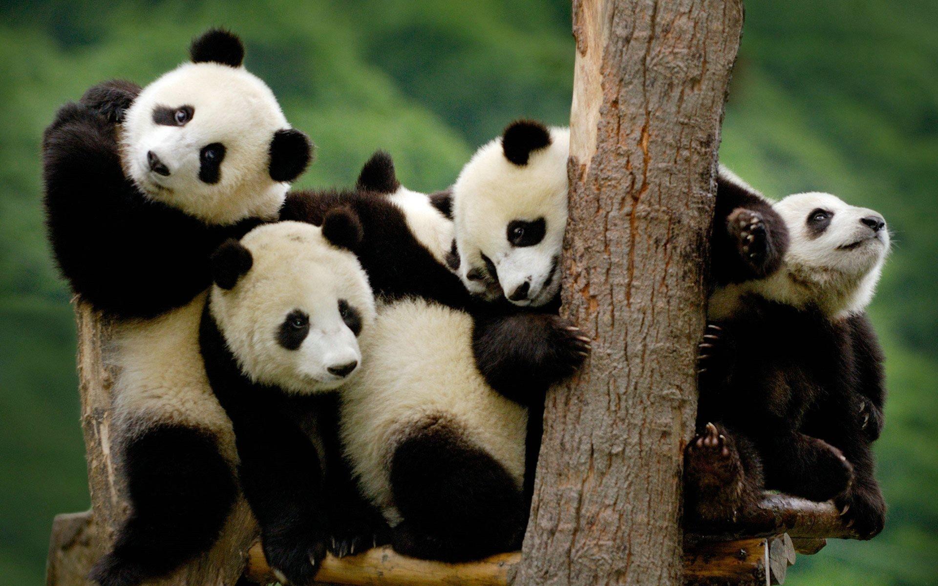 Baby Panda Bear Wallpaper