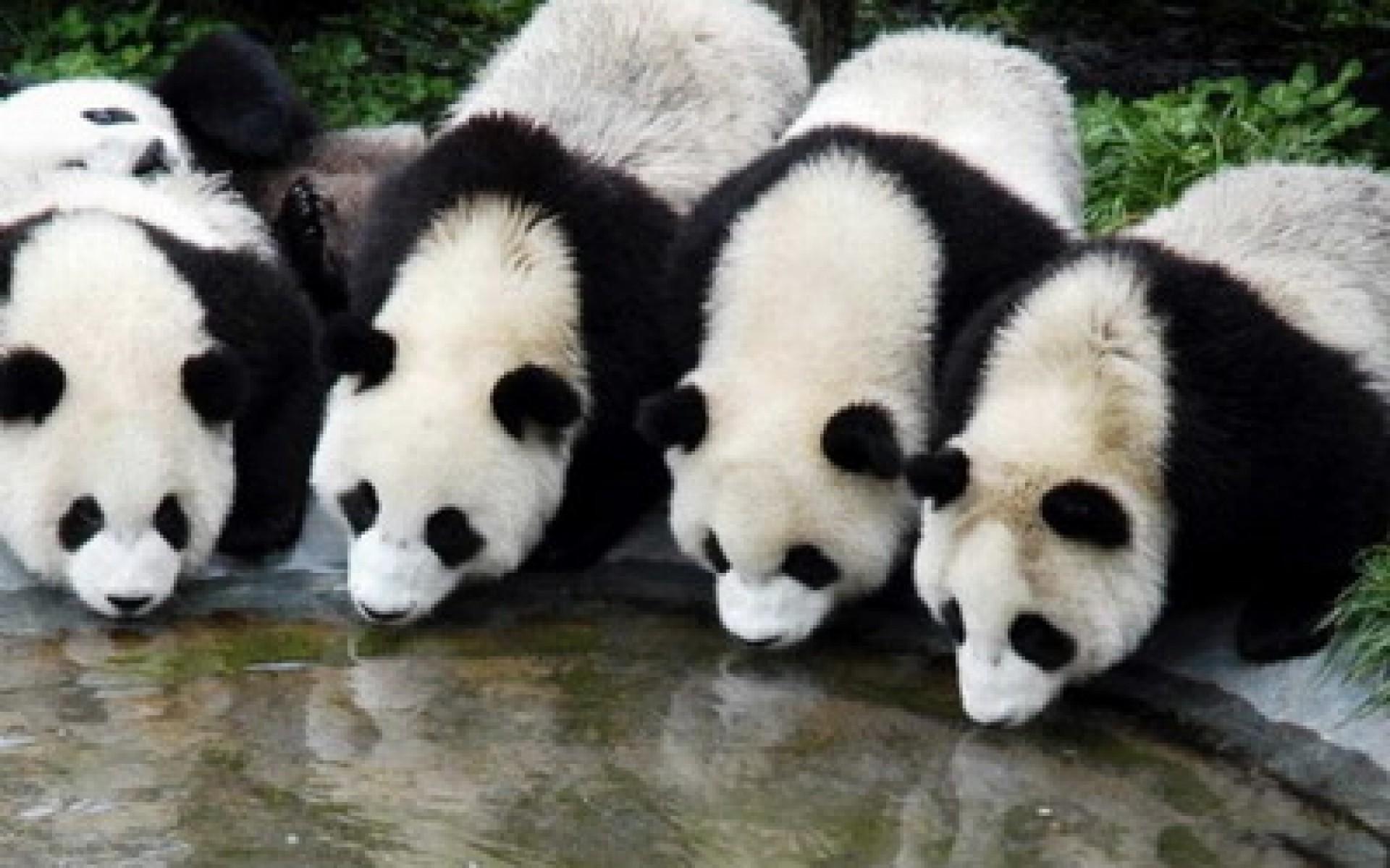 Panda Wallpapers, HD Panda Wallpapers Download Free 1920×1080 Panda Images  Wallpapers (34 · Bear PhotosBaby …