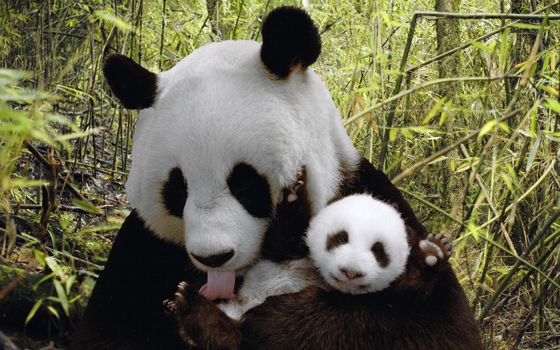 wallpapersforsweetcutebabypandabearwallpapersbabypanda 1920×1200 Cute Baby  Panda Wallpapers (57 Wallpapers)   Adorable Wallpapers