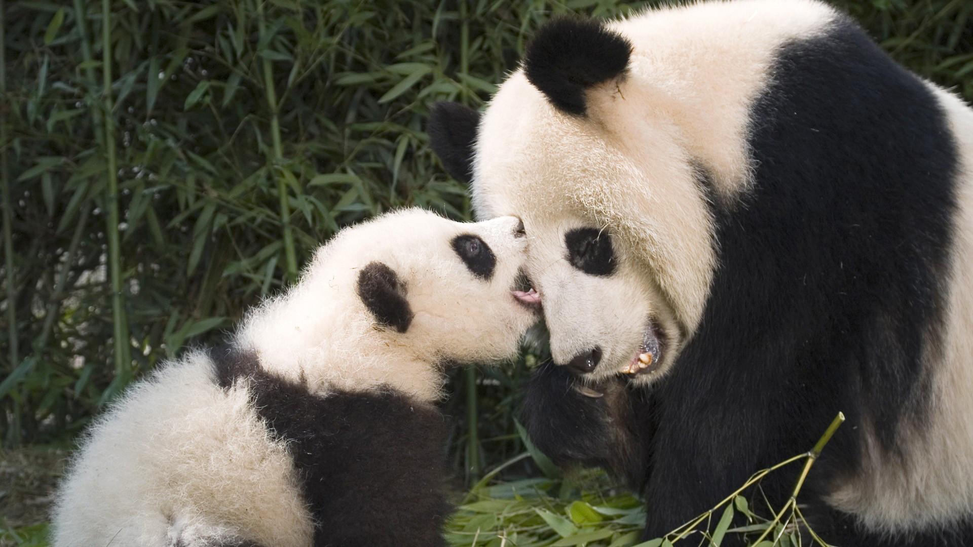 panda and baby panda HD, wallpaper download