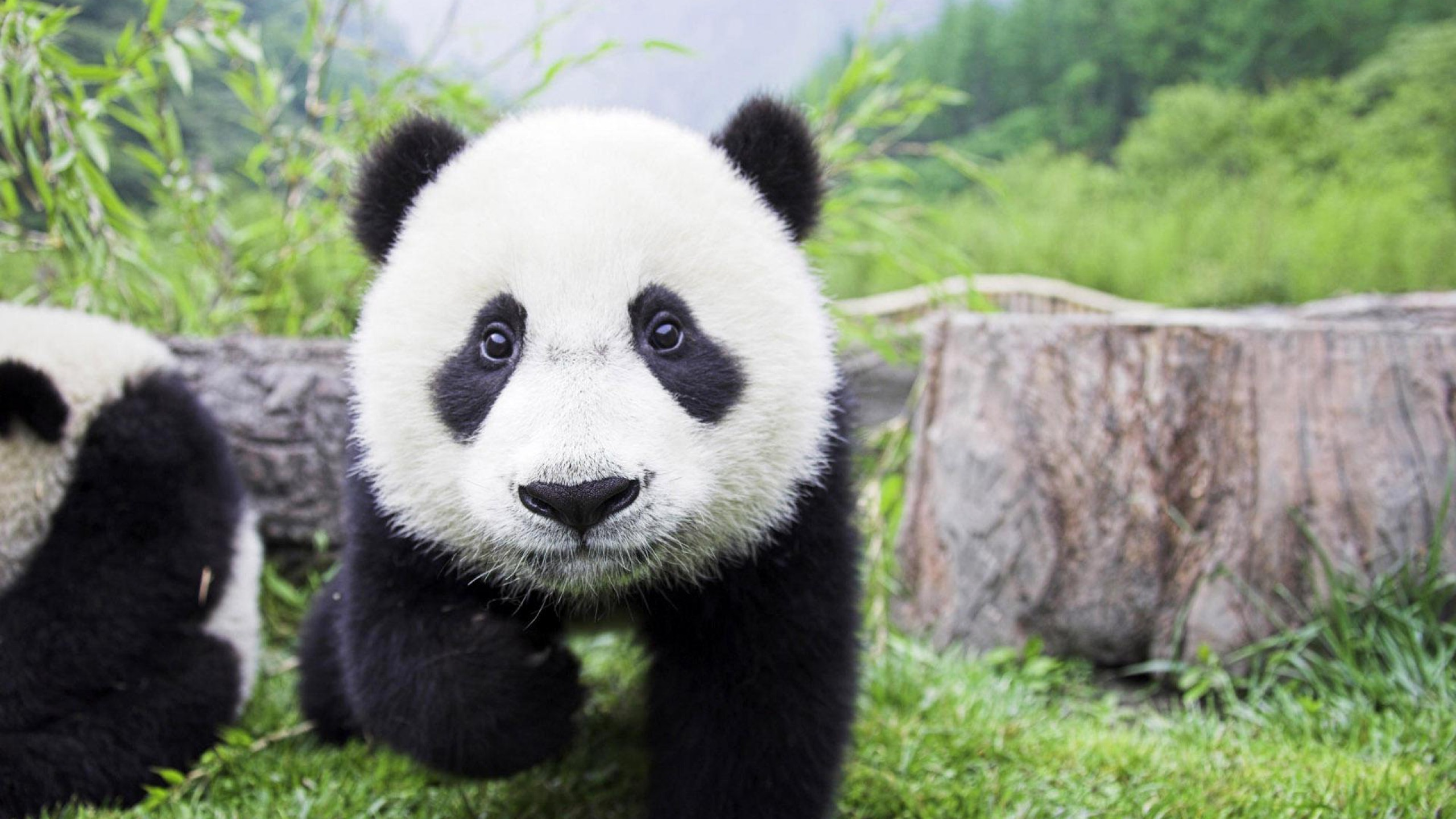 Explore Baby Pandas, Giant Pandas, and more!